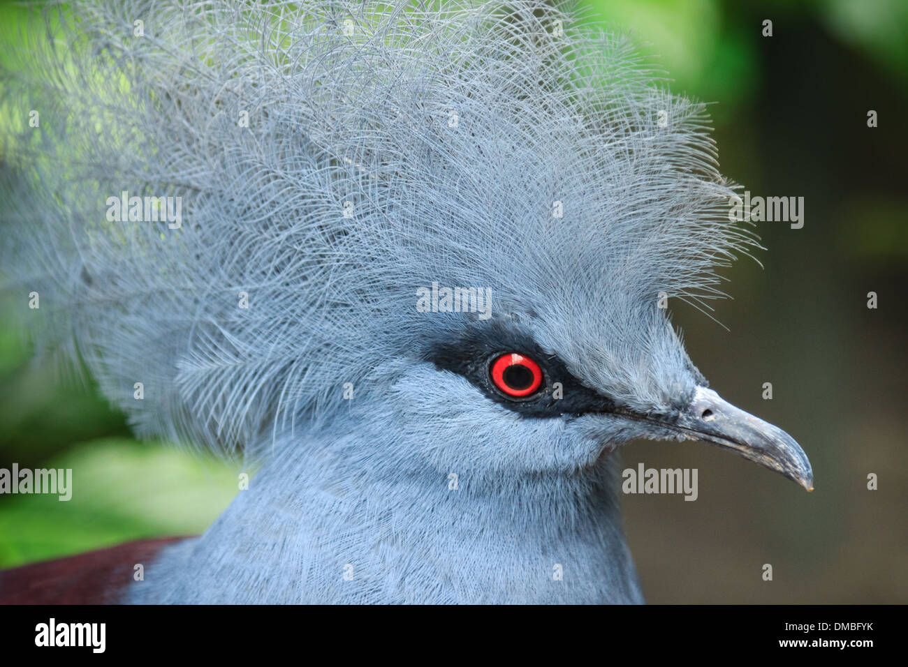 Western Crowned Pigeon (Goura cristata) // Goura couronné (Goura cristata) Stock Photo