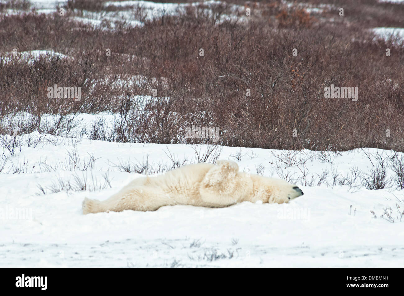 Adult Polar Bear, Ursus maritimus,  lying on its back, sleeping on the the snow, Churchill, Manitoba, Canada Stock Photo