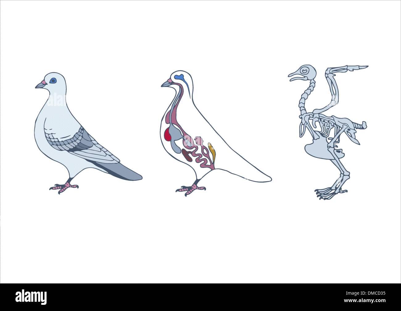 zoology, anatomy of bird Stock Vector Art & Illustration, Vector ...