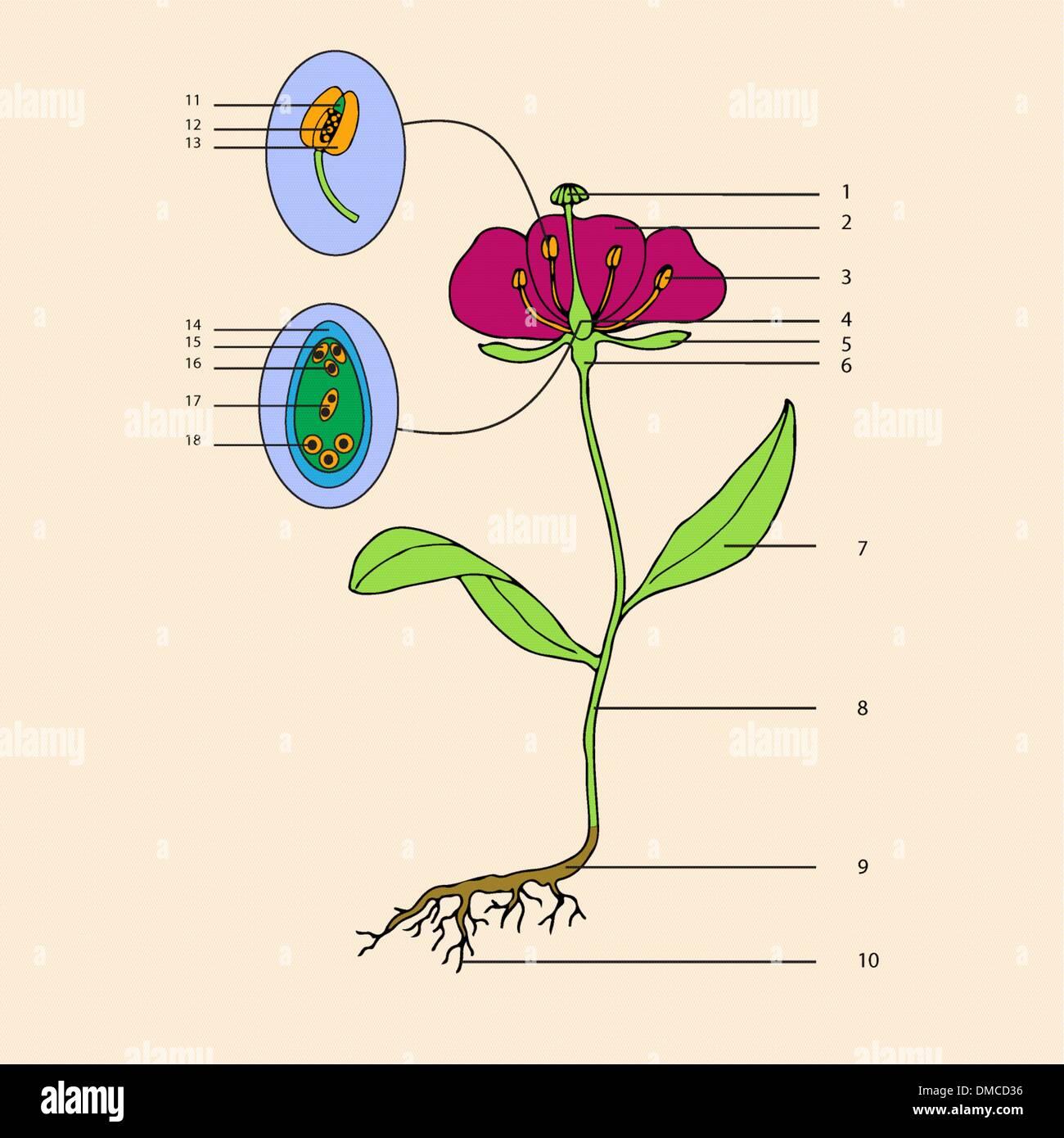 flower morphology - Stock Image