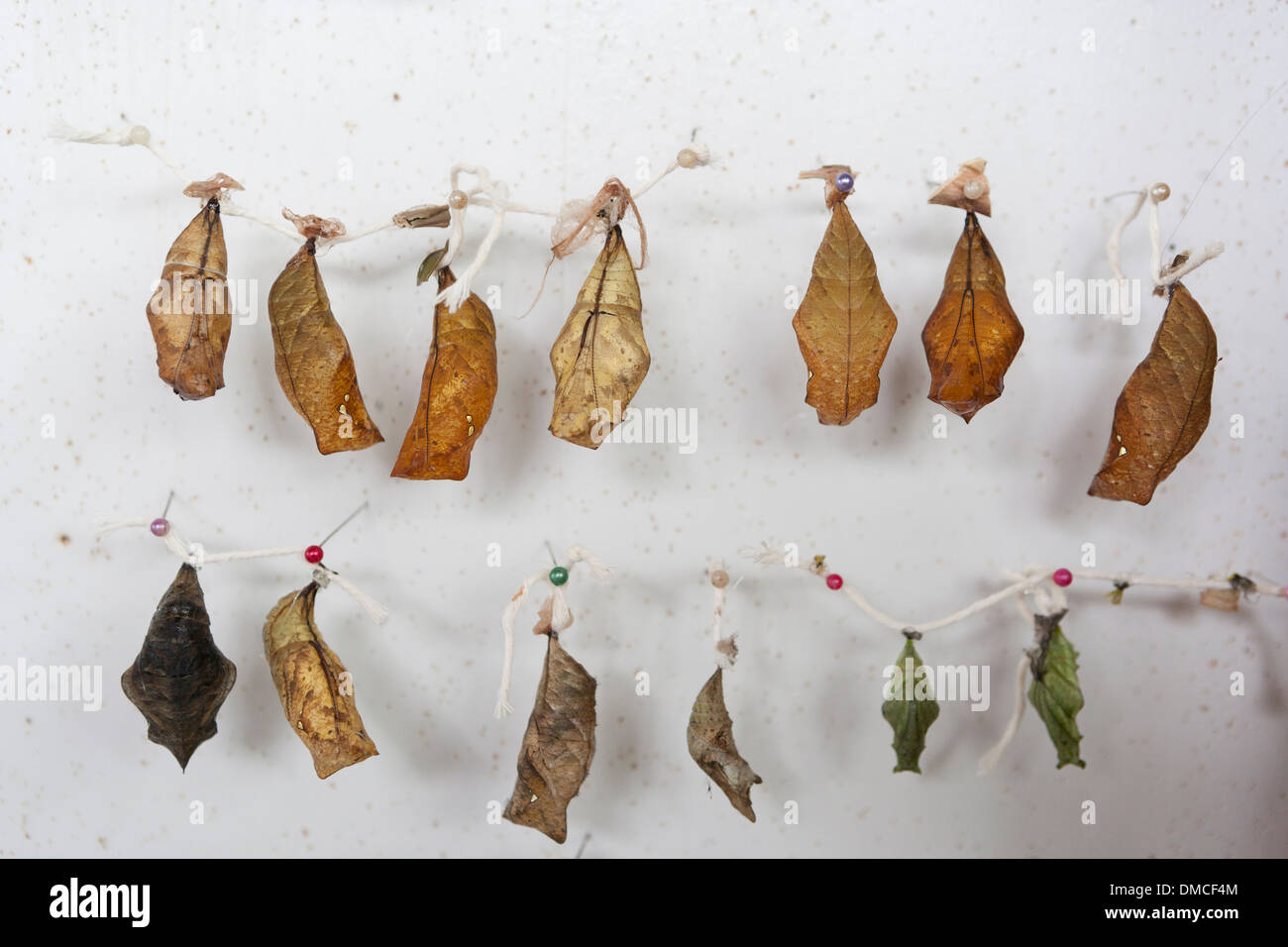 many butterfly crysalis suspended at a butterfly zoo awaiting the emerging of adult butterflies. Caterpillar metamorphosis - Stock Image