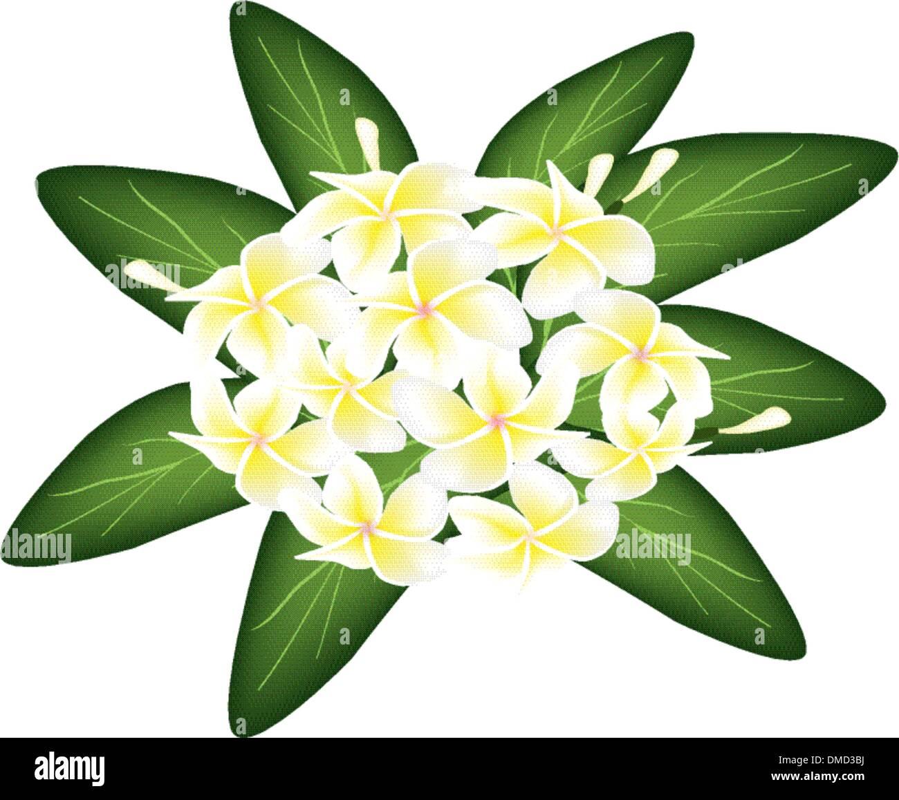 A Group of White Beauty Plumeria Frangipanis - Stock Vector