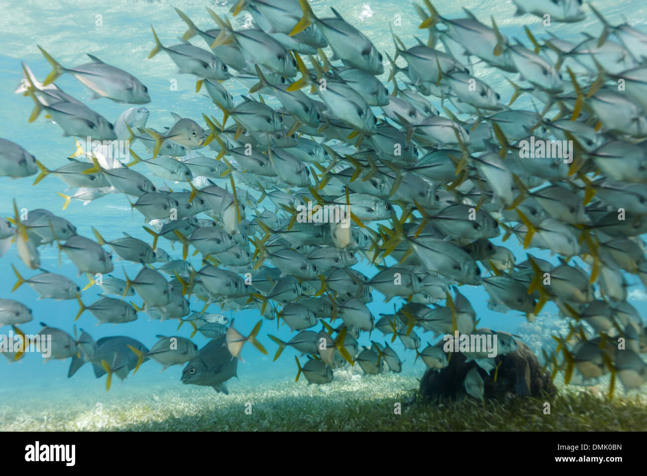 School of horse eye jack fish swim on coral reef on Hol Chan Marine Reserve - Stock Image
