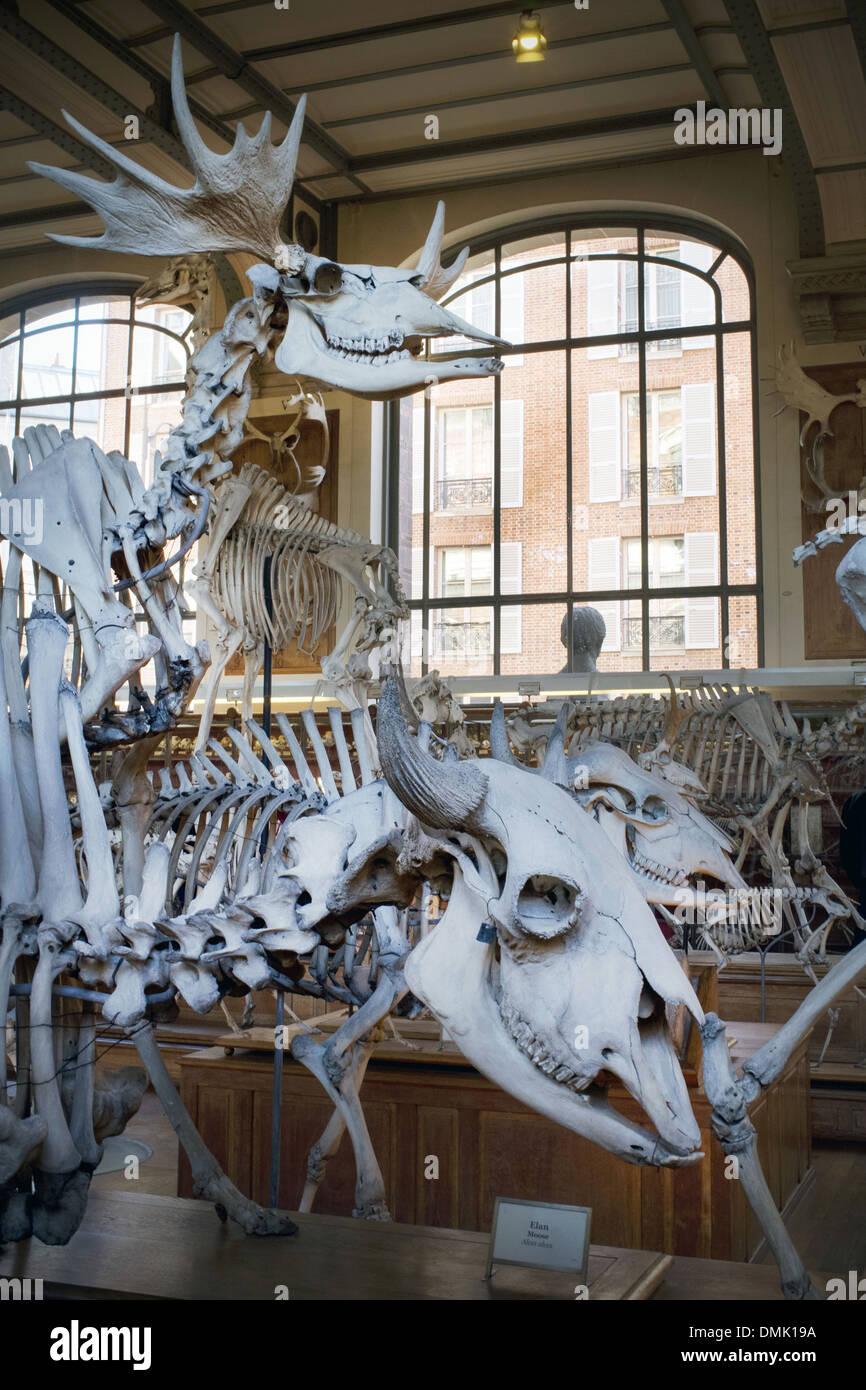 MUSEUM, GALLERY OF PALAEONTOLOGY AND COMPARATIVE ANATOMY, JARDIN DES PLANTES, PARIS (75) - Stock Image