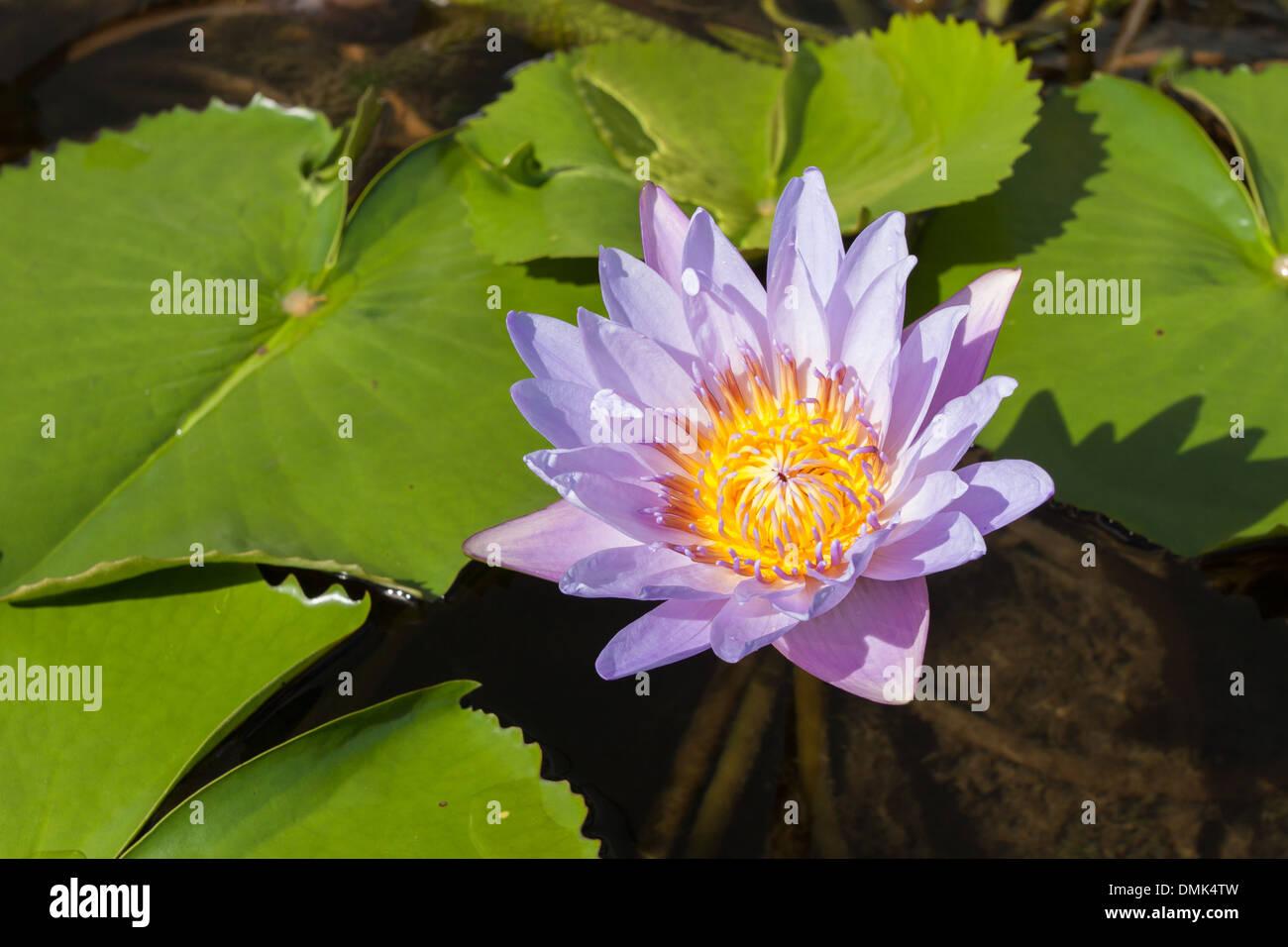 Lotus Flower Art Stock Photos Lotus Flower Art Stock Images Alamy