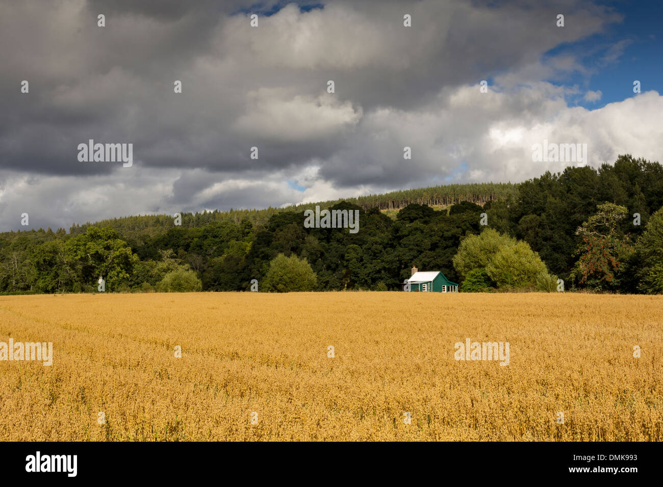 GREEN HUT IN THE CORNER OF A RIPENING OAT FIELD - Stock Image