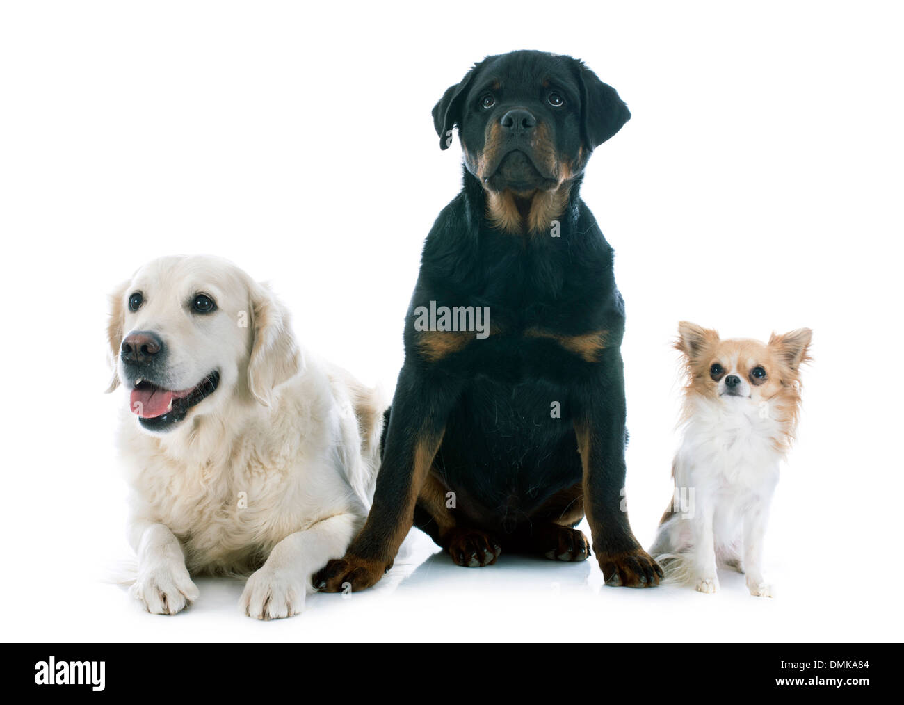 Purebred Golden Retriever Puppy Rottweiler And Chihuahua In Front