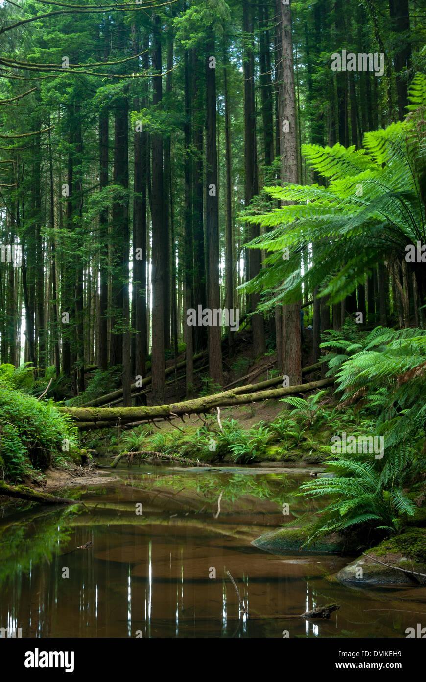 Otways forest - Stock Image