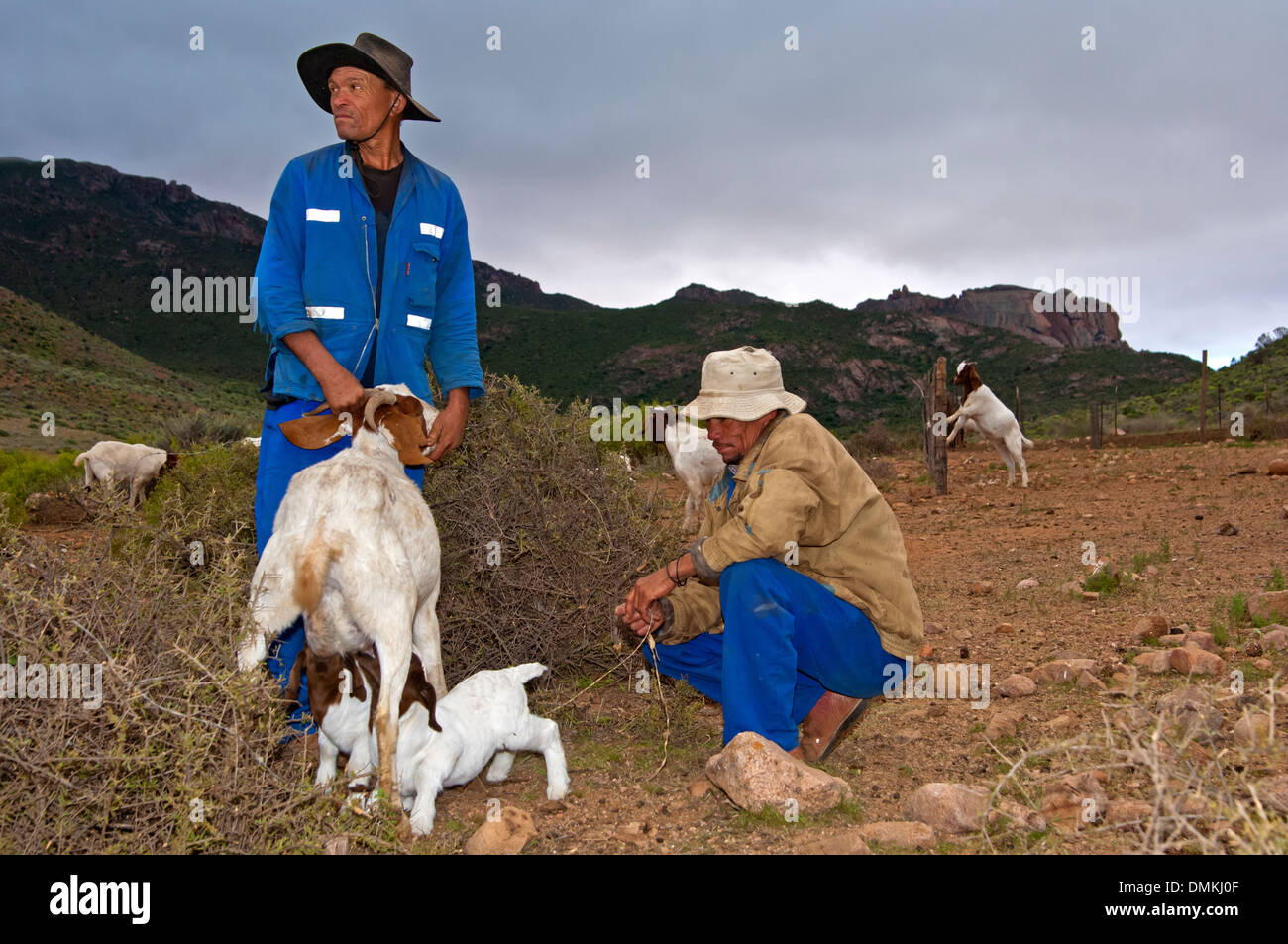 Two Nama goat herders letting Boer goatlings suckle with the female, near Kuboes, Richtersveld, South Africa - Stock Image