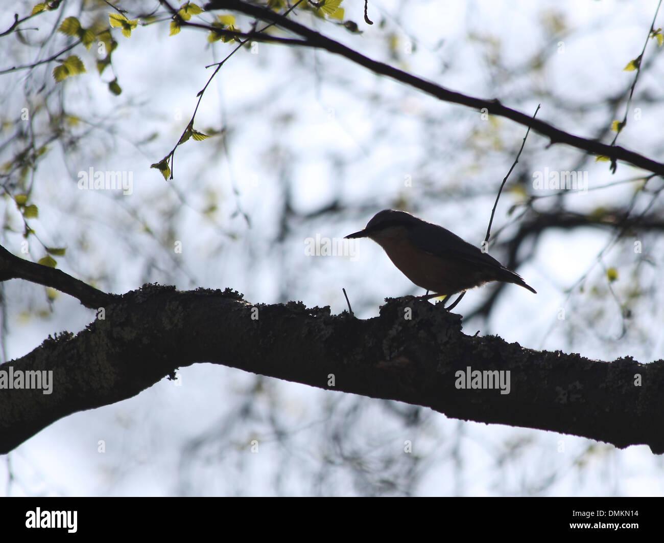 Small Mockingbird (nuthatch) sitting on a branch Stock Photo