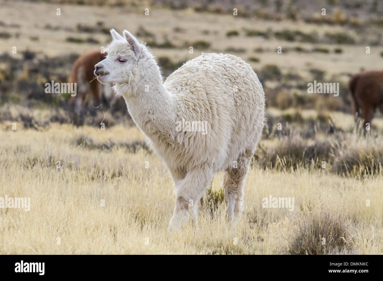 Alpaka in the peruvian highlands Stock Photo