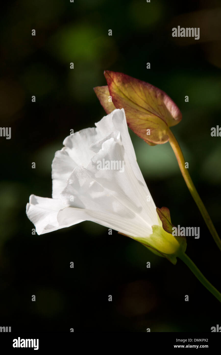 Hedge Bindweed Calystegia sepium close-up of flower and leaves - Stock Image