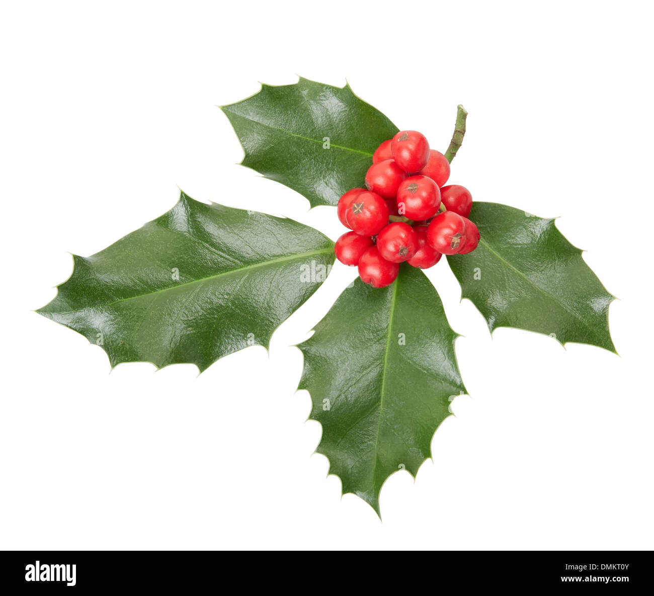 Holly twig, Christmas decoration isolated on white, clipping path included - Stock Image