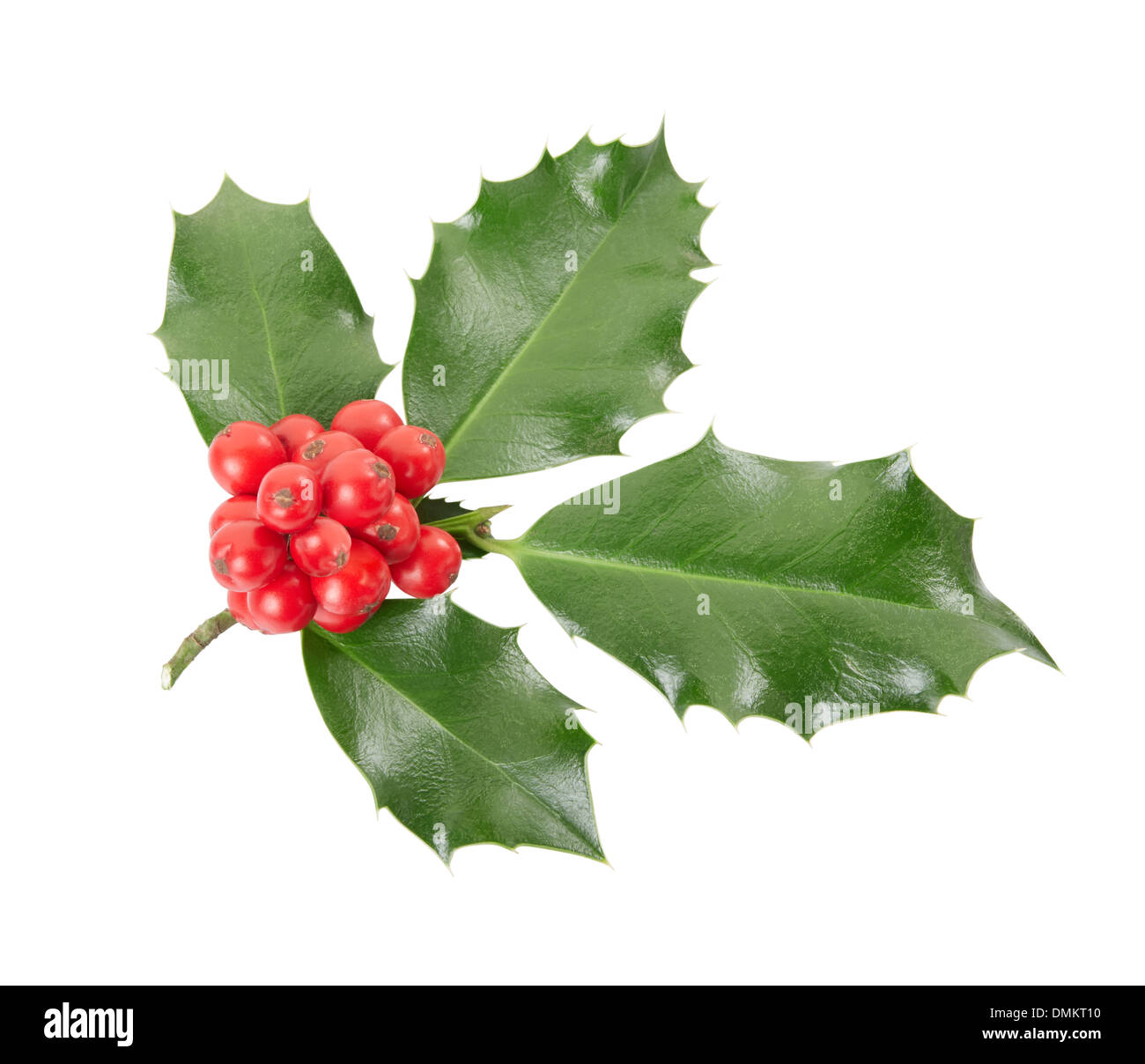Holly twig, Christmas decoration - Stock Image
