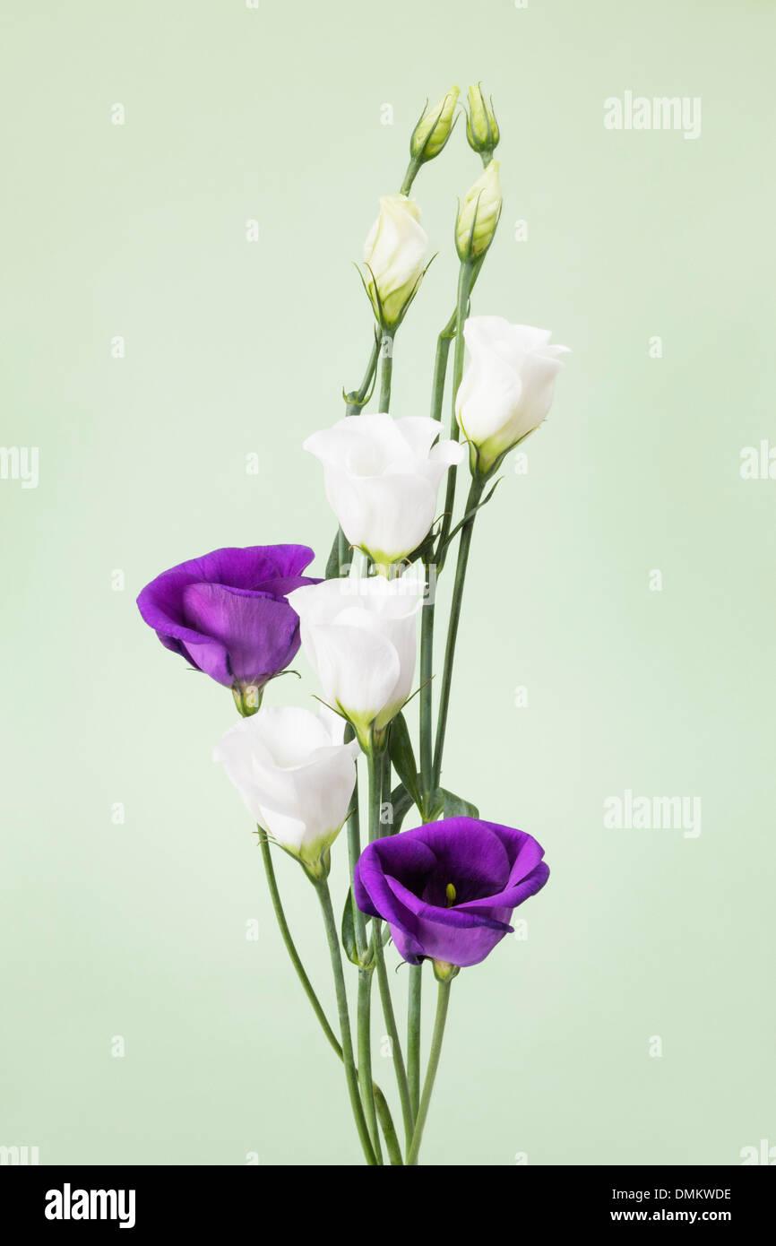 Purple and white Eustomas - Stock Image