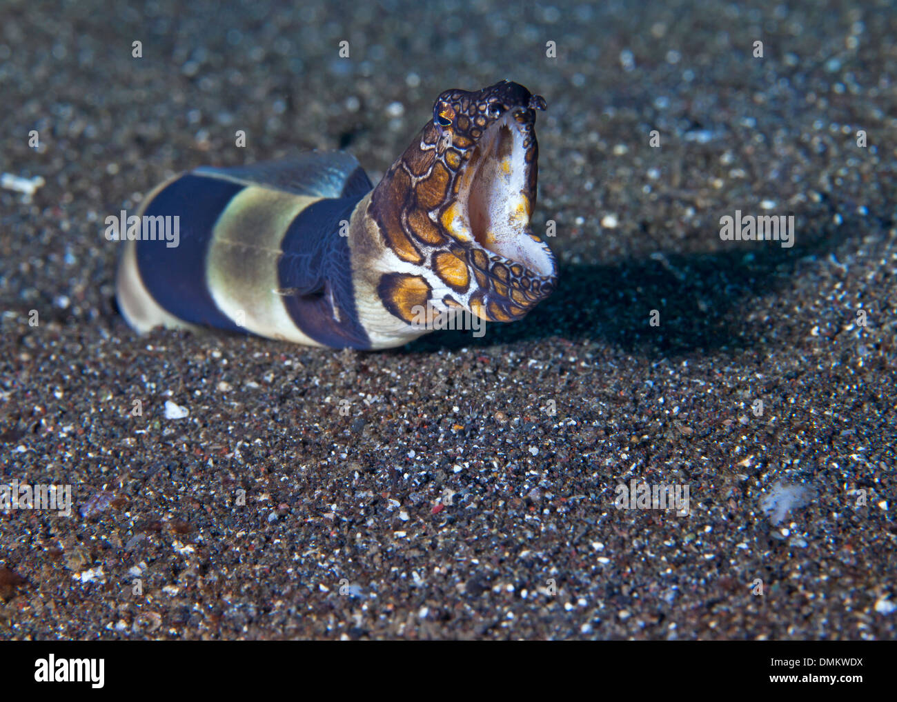Clown snake eel ( Ophichthus bonaparti) lunges from its hole in sand and snarls at photographer. Lembeh Straits, Indonesia. - Stock Image