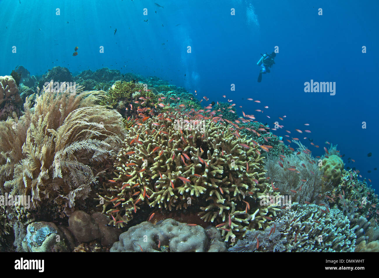 scuba diver hovers over coral reef with anthias tropical fish. - Stock Image