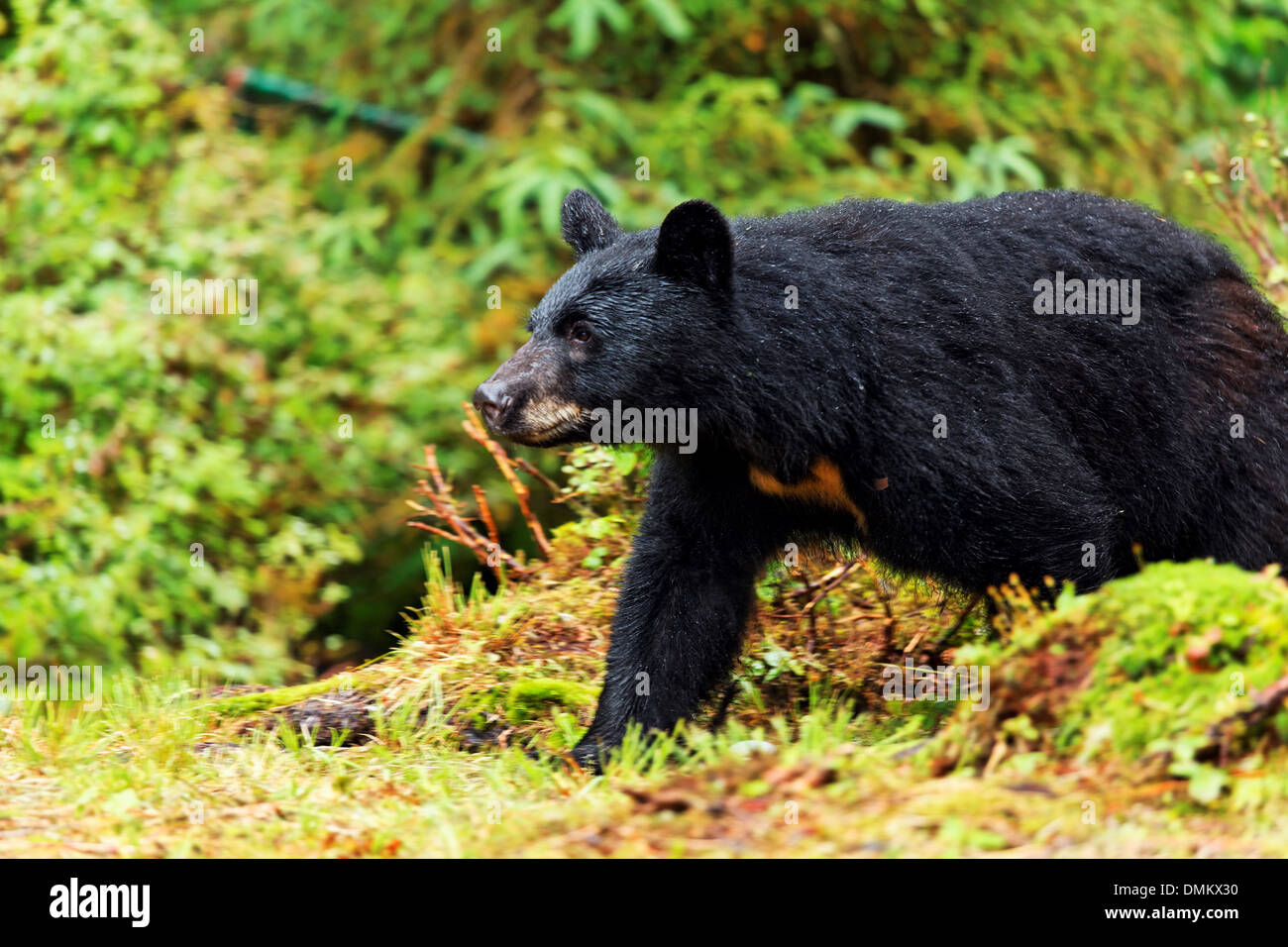 Black bear walking through forest, Anan Wildlife Observatory, Tongass National Forest, Southeast, Alaska - Stock Image