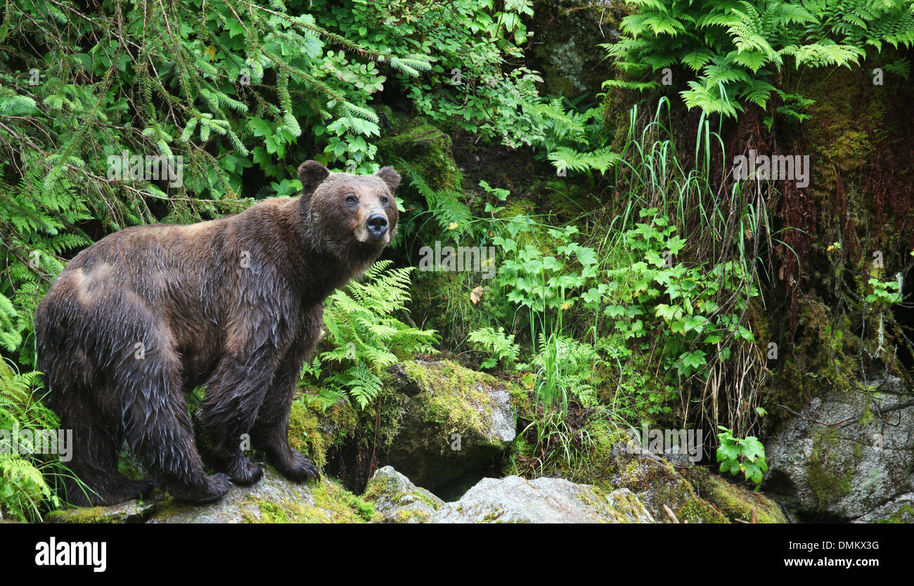 Female coastal brown bear in forest, Anan Wildlife Observatory, Tongass National Forest, Southeast, Alaska - Stock Image