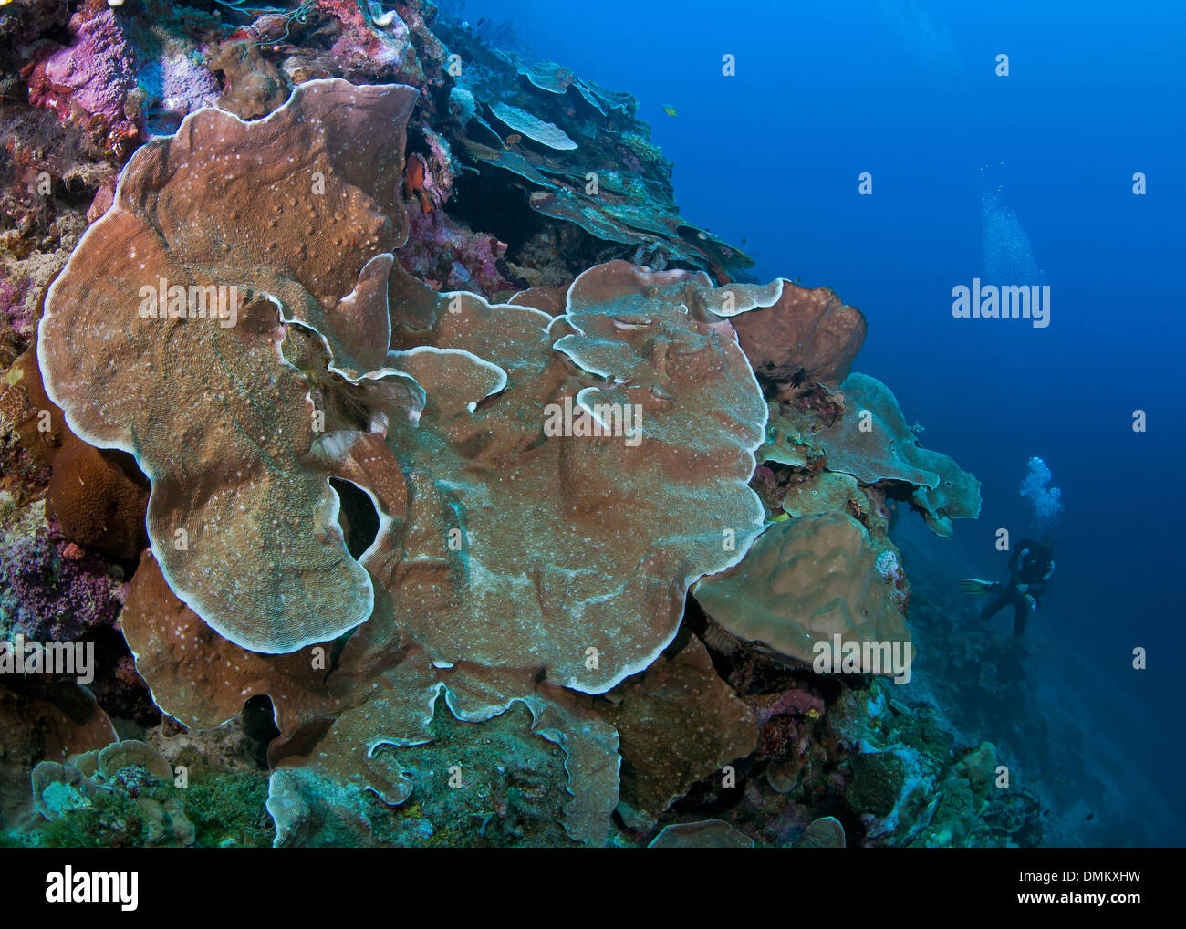 Leaf plate coral on ledge of wall reef with scuba diver in background. - Stock Image
