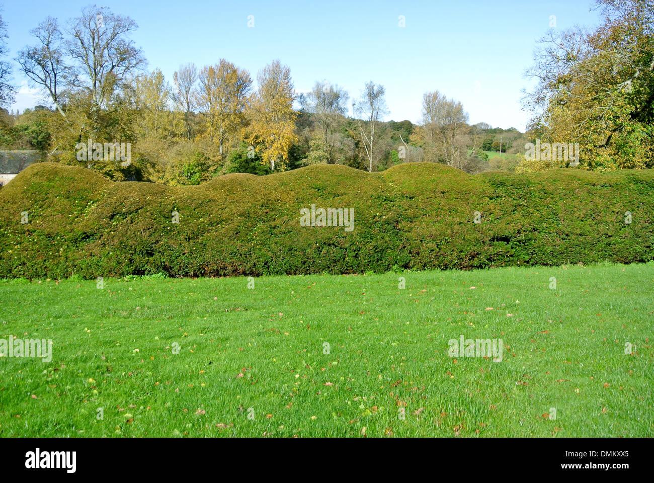 old yew hedge - Stock Image