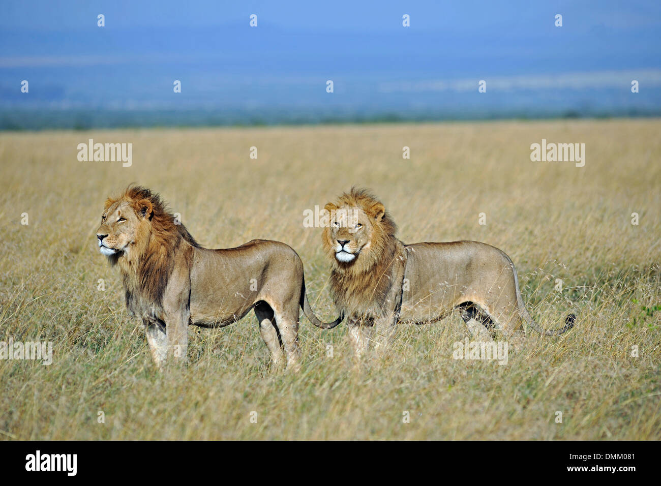 lion in the savanna of africa - Stock Image