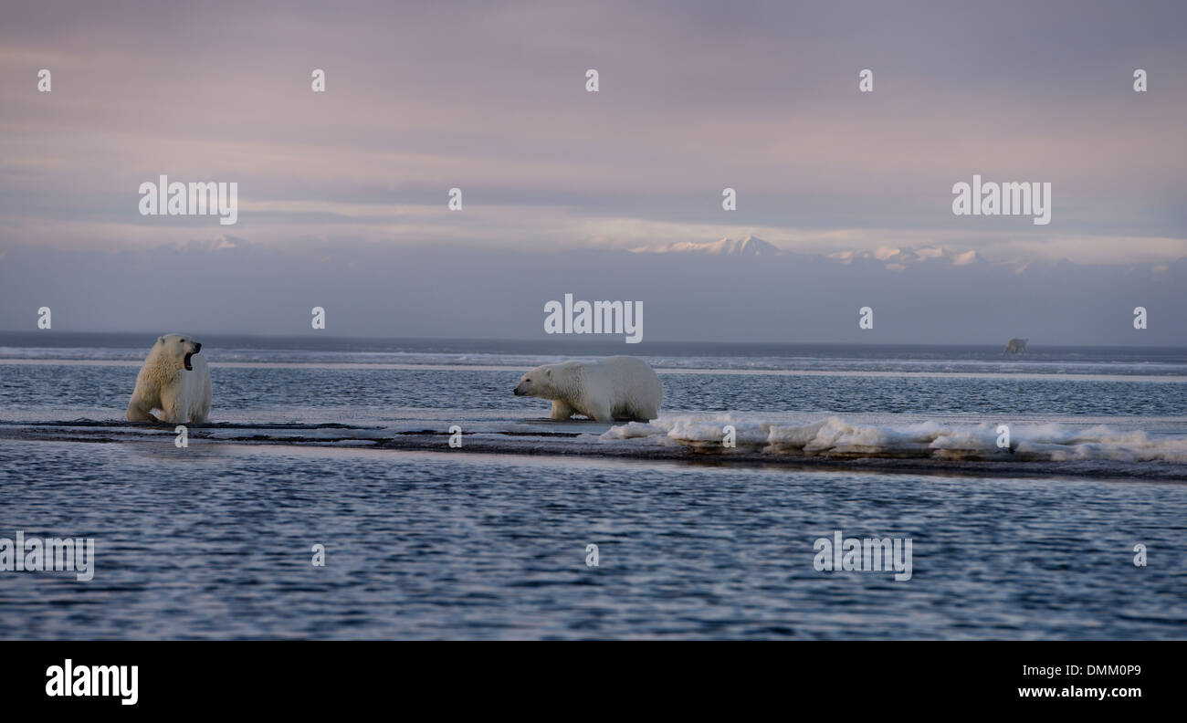 Panorama of two wading polar bears one yawning on Barter Island another walking on Kaktovik Lagoon with mountains - Stock Image