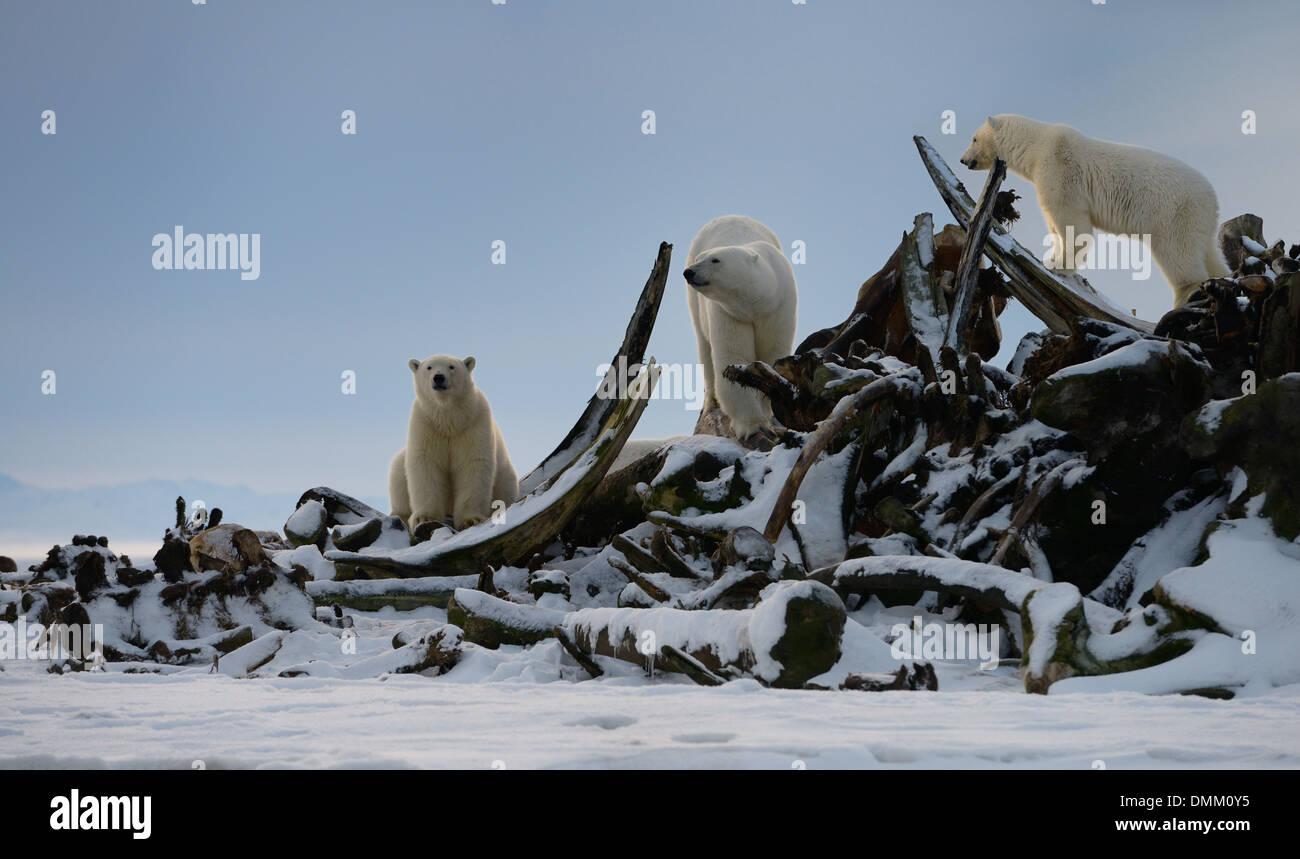 Three Polar bears climbing on snow covered whale bone pile on Barter Island Kaktovik Alaska - Stock Image