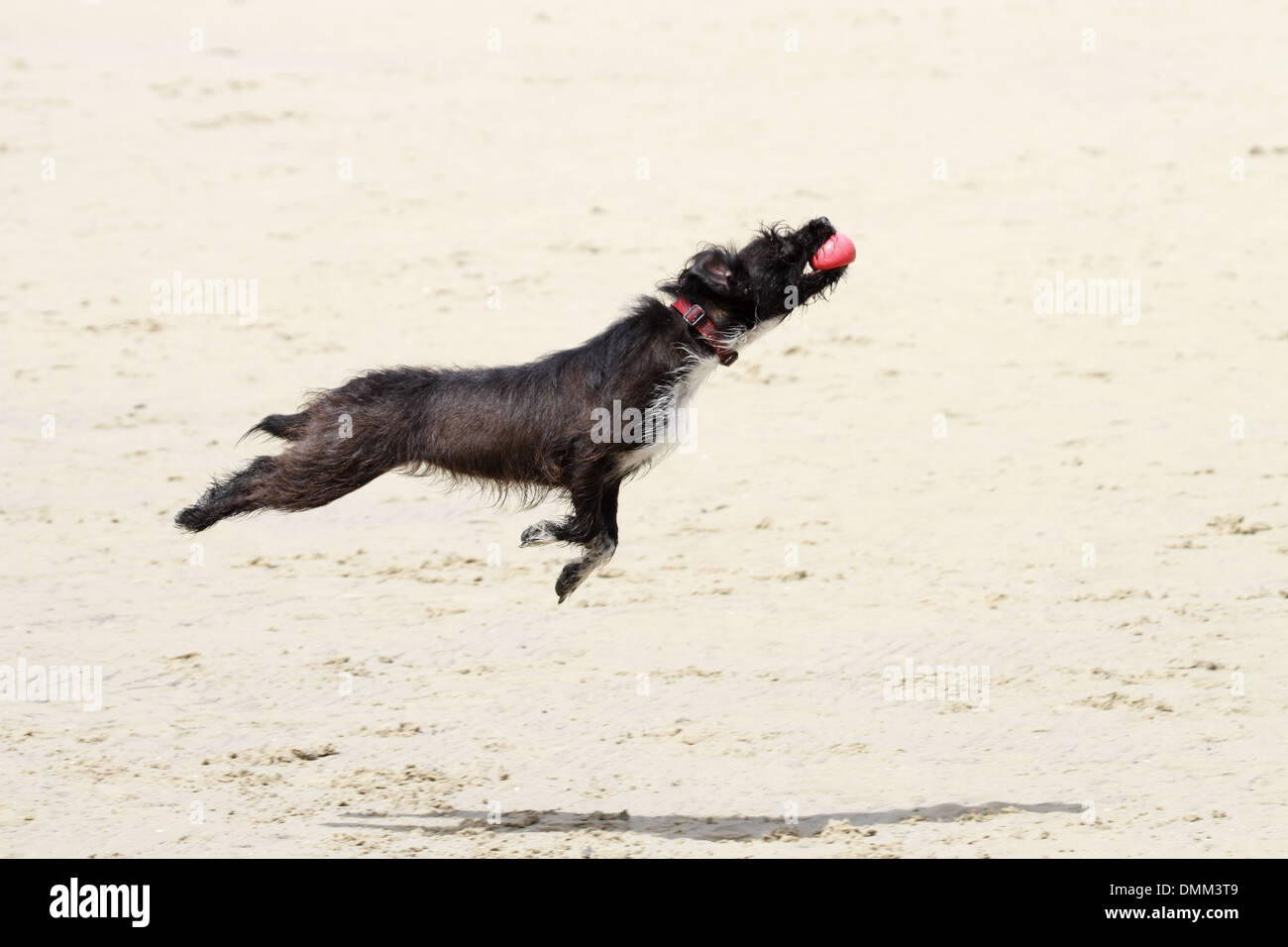 jack Russell poodle cross leaping to catch a ball on a beach - Stock Image
