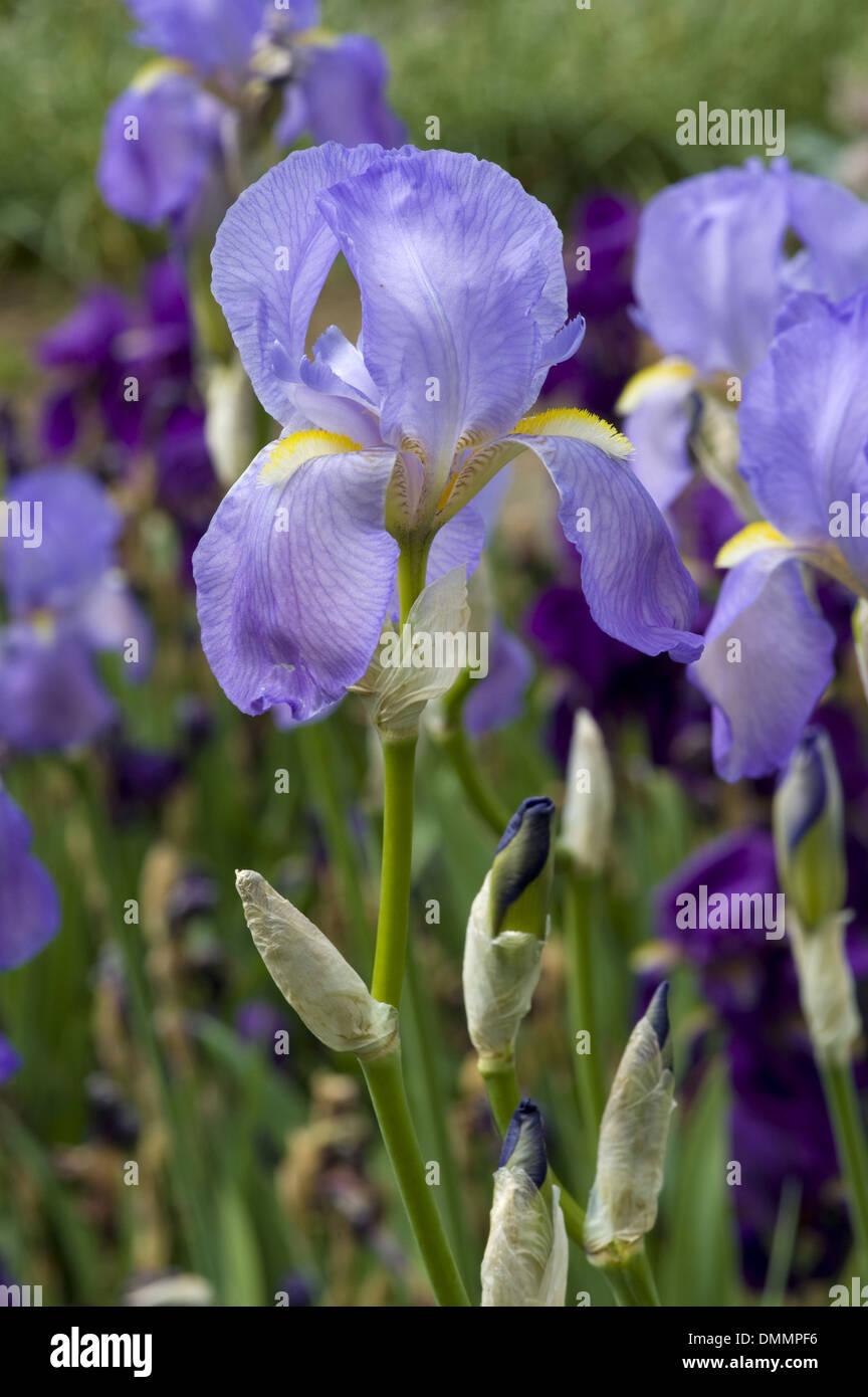 dalmatian iris, iris pallida - Stock Image