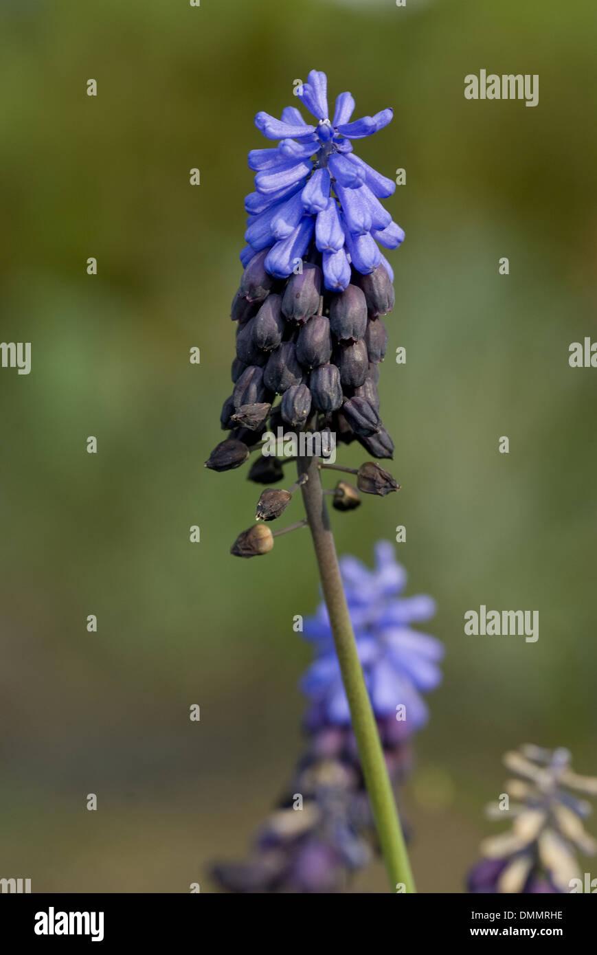 broad-leaved grape hyacinth, muscari latifolium Stock Photo