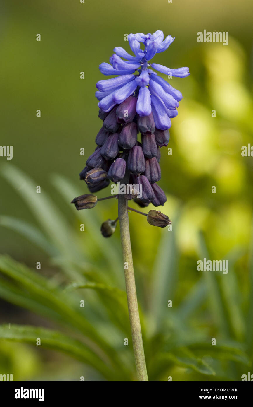 broad-leaved grape hyacinth, muscari latifolium Stock Photo