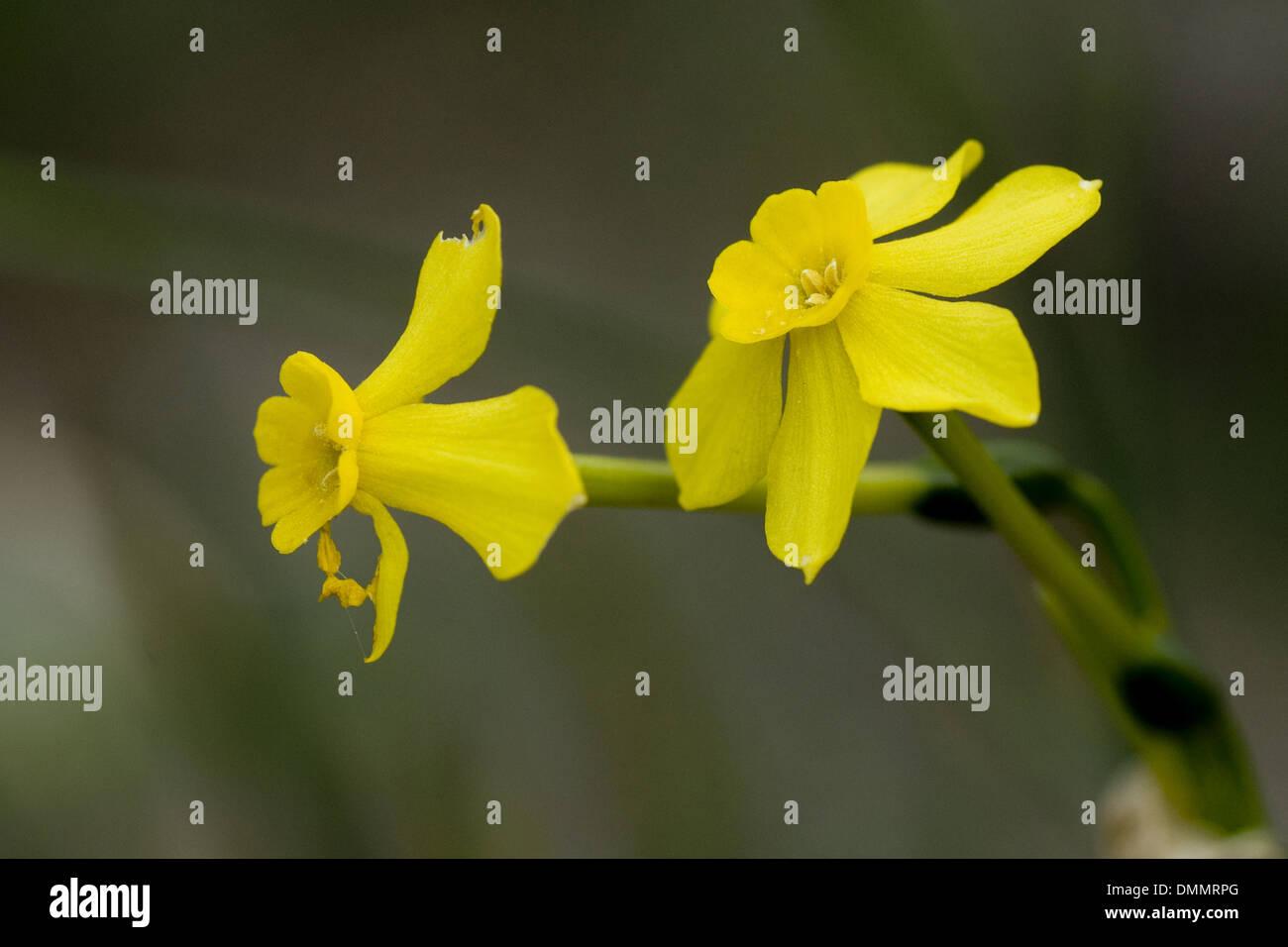 jonquil, narcissus jonquilla Stock Photo