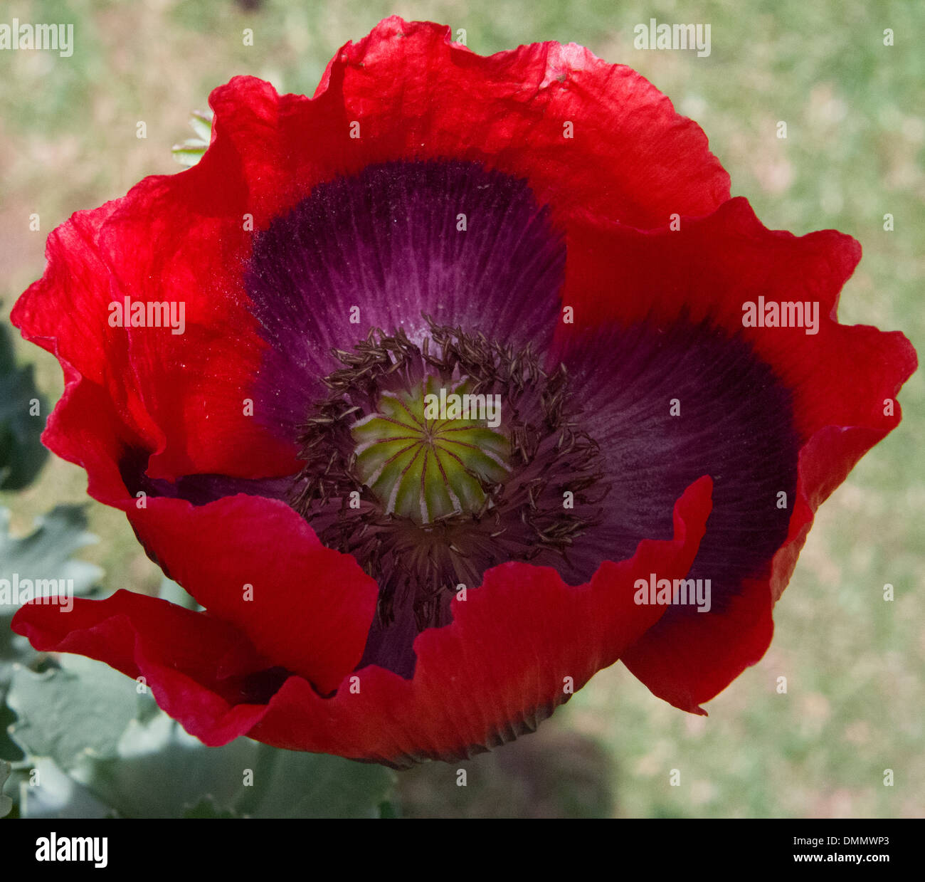Red Poppy Flower With Purple Yellow Black Centres Open Flowers Stock