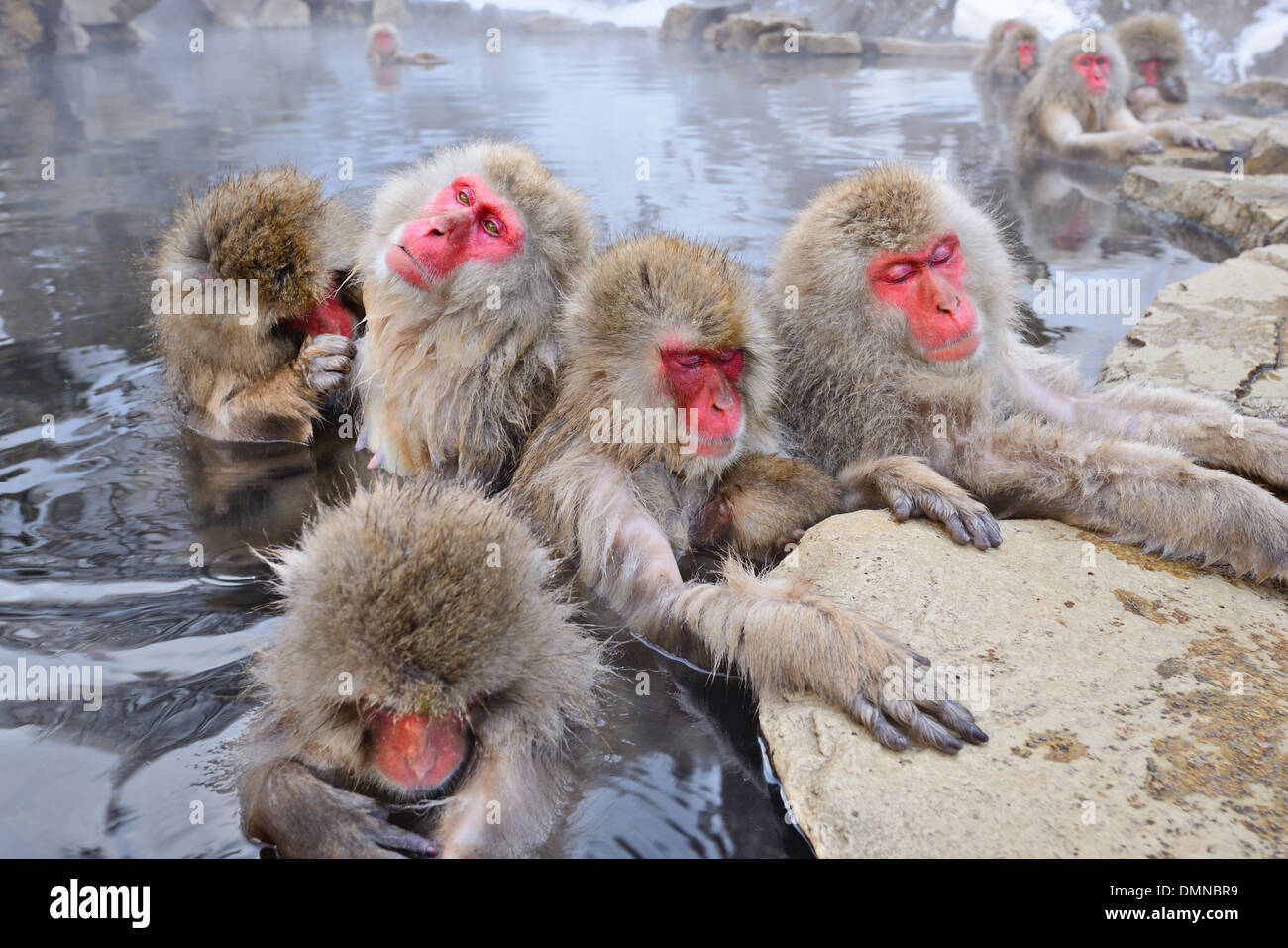 Macaques bath in hot springs in Nagano, Japan. Stock Photo