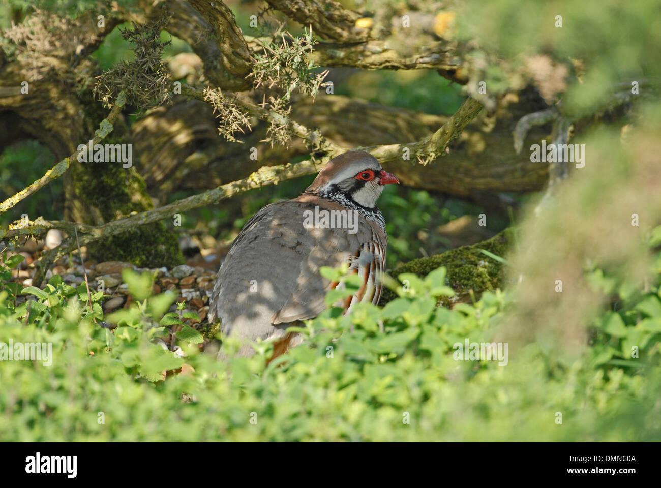 Red-legged partridge (Alectoris rufa) sheltering under hedge - Stock Image