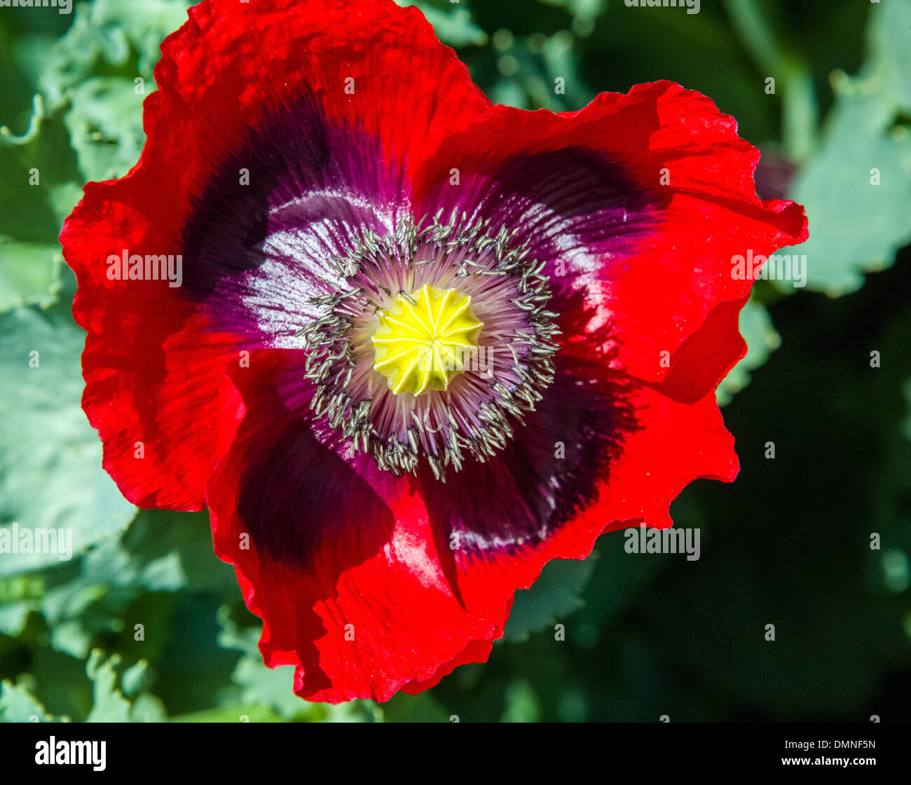 Red Poppy Flowers And Poppy Pods In Natural Growing Garden Outdoor