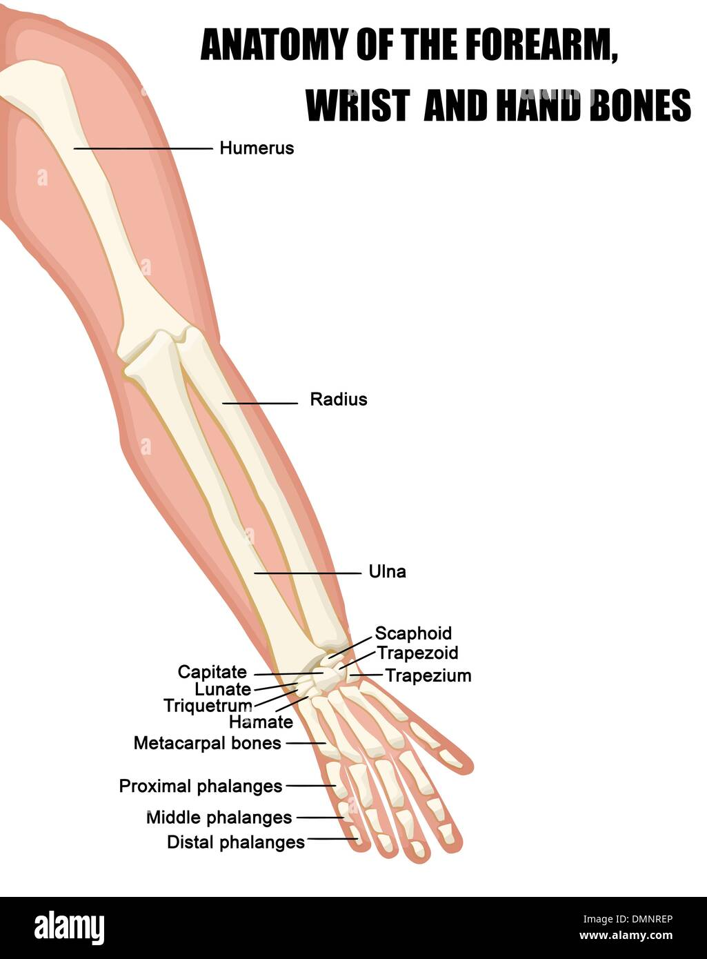 Hand and wrist bones anatomy