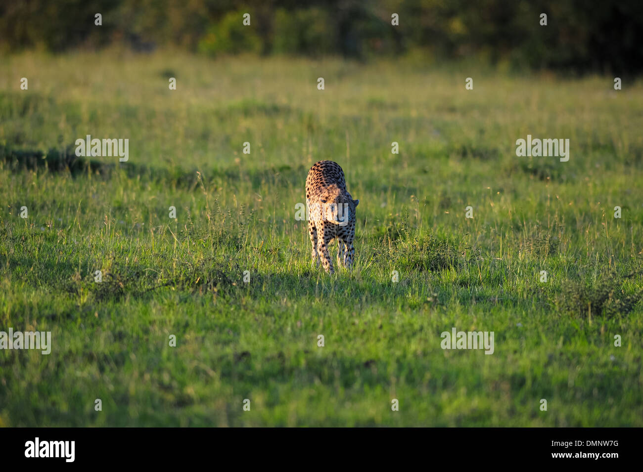 on safari in africa with the wild beasts - Stock Image