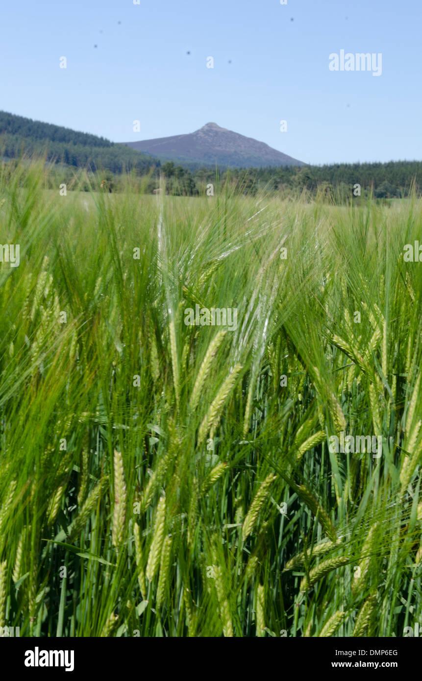 barley and bennachie mither tap aberdeen - Stock Image