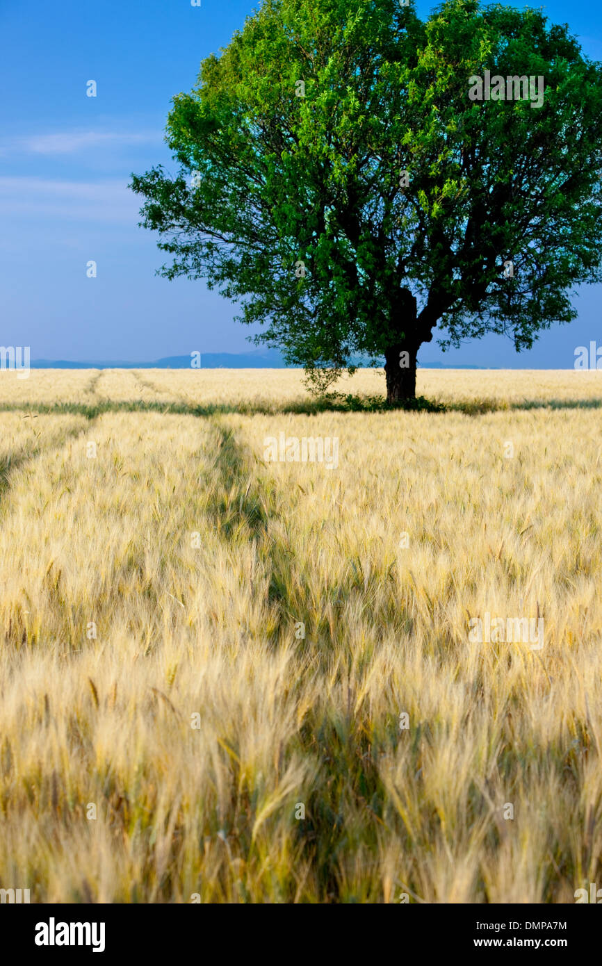Lone tree in field of barley near Valensole, Provence France - Stock Image
