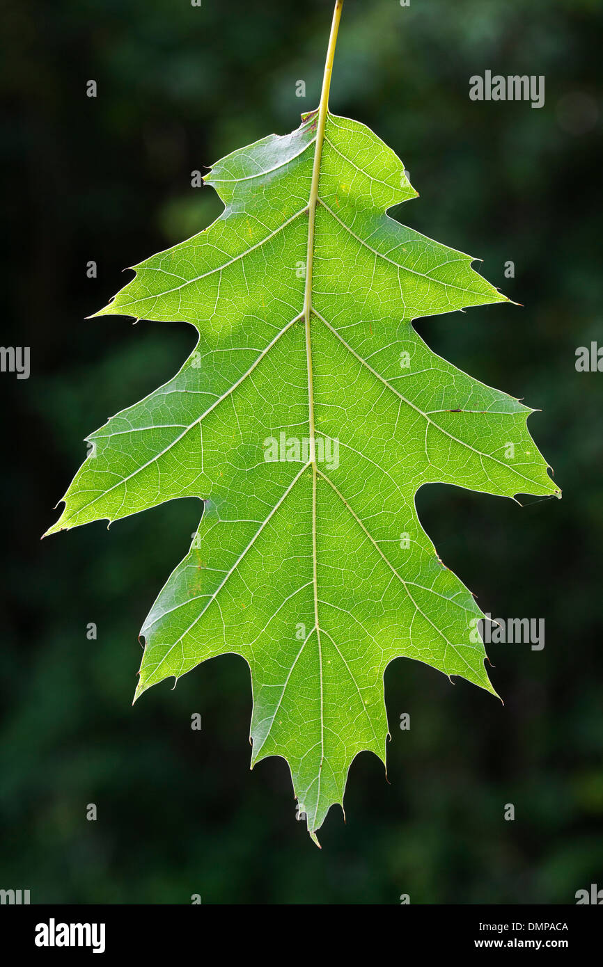 Northern red oak / champion oak (Quercus rubra / Quercus borealis) close up of leaf hanging on tree in forest - Stock Image
