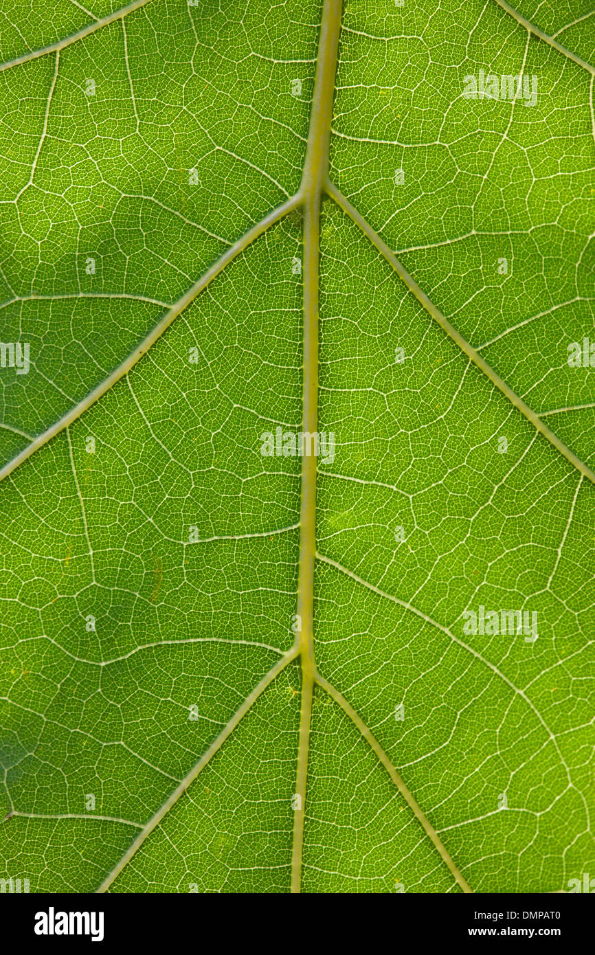 Close up of green Northern red oak / champion oak (Quercus rubra / Quercus borealis) leaf showing pattern of veins - Stock Image