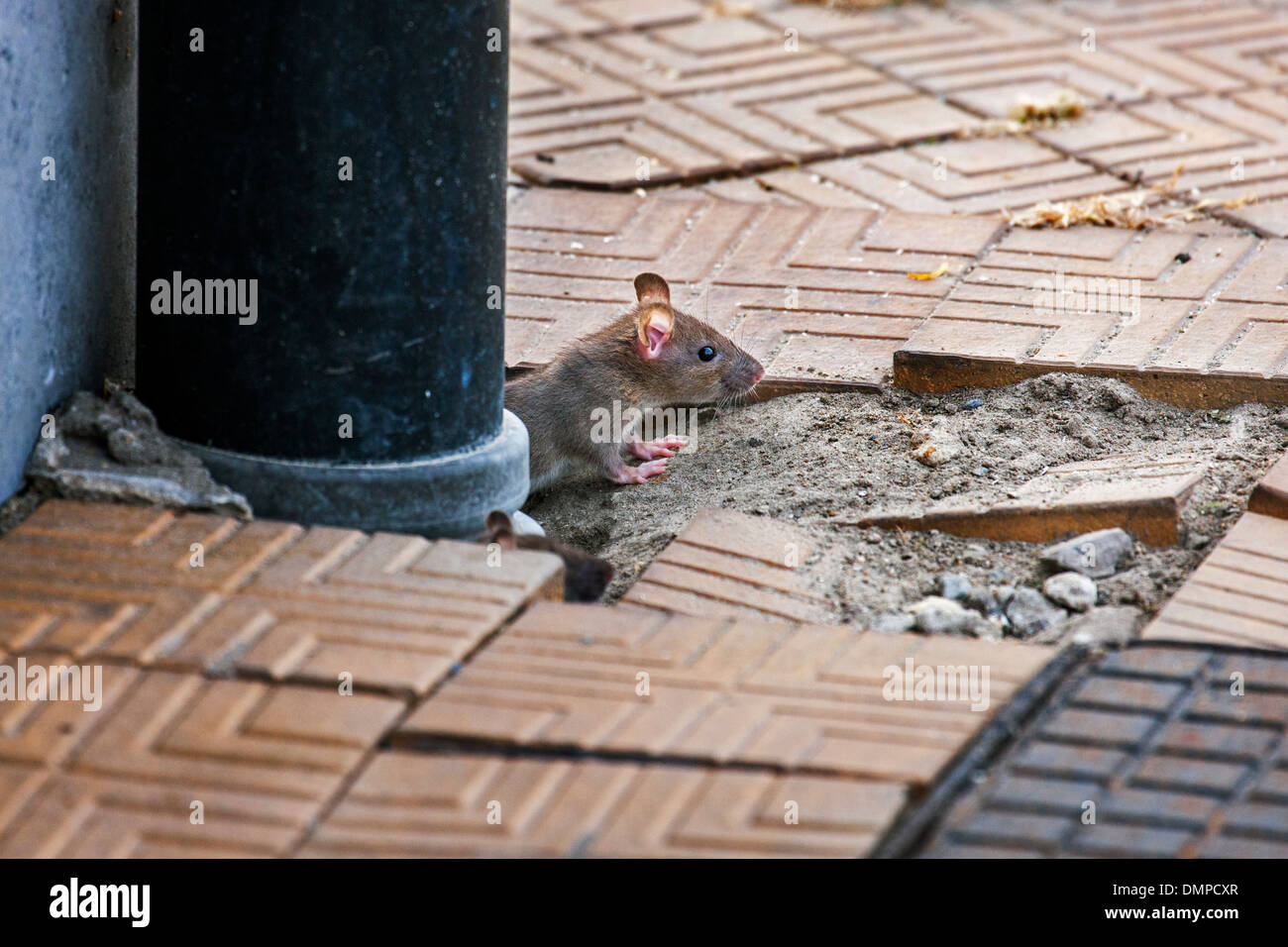 Juvenile brown rat / Common rat (Rattus norvegicus) emerging from drainpipe on pavement in city street - Stock Image