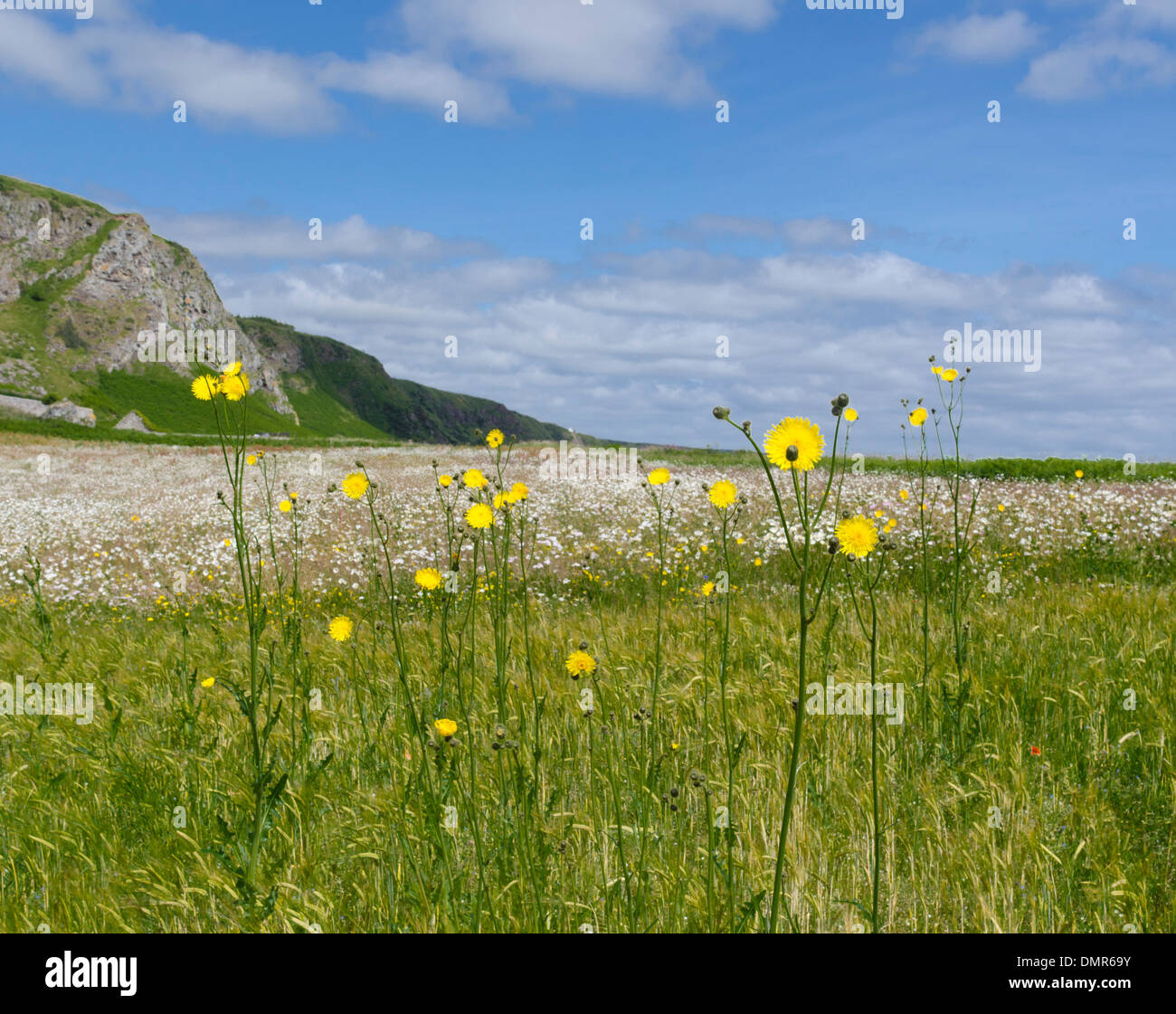 giant yellow daisies St Cyrus north sea coast - Stock Image