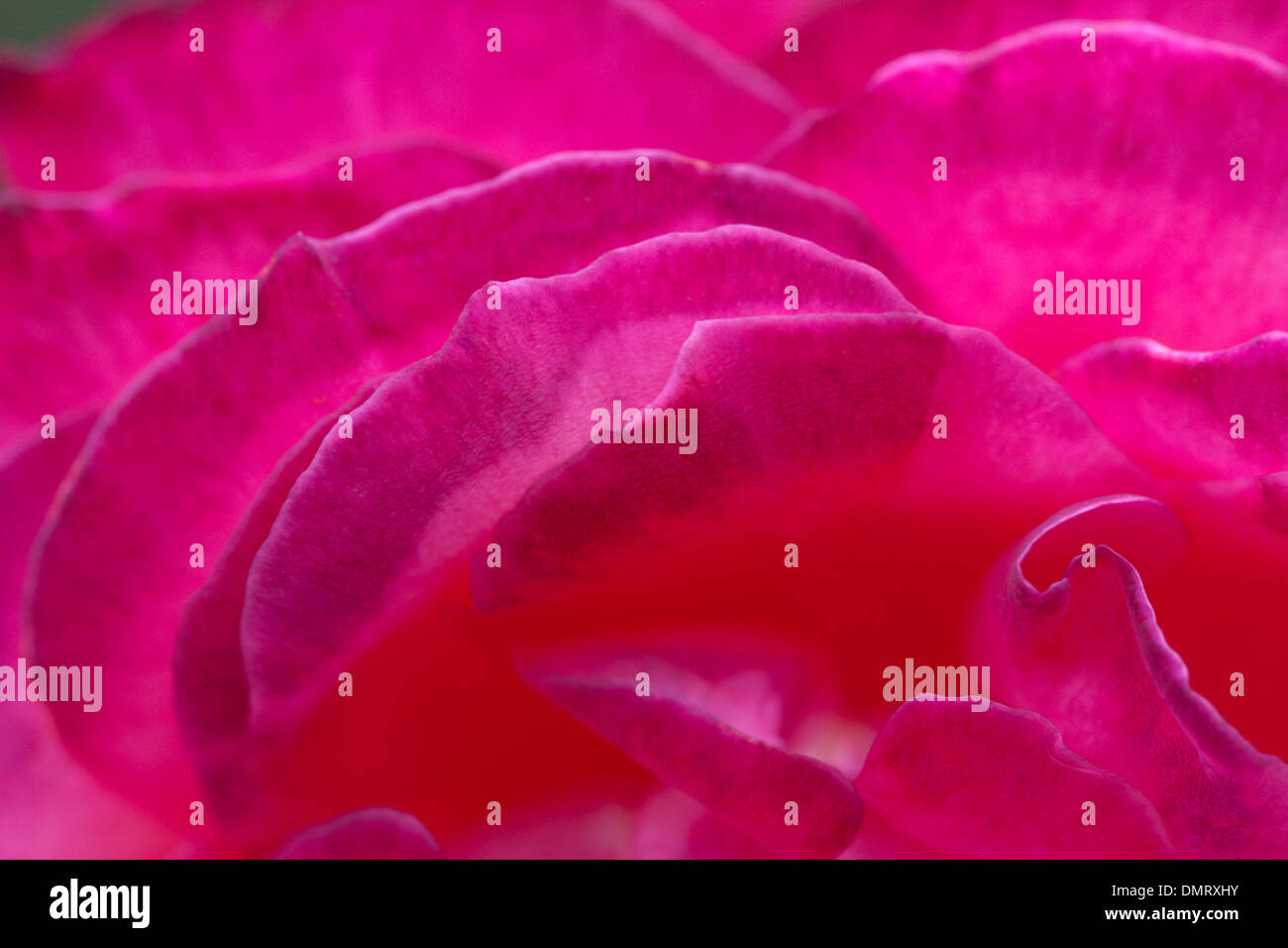close up of rose petals red bright flower Stock Photo