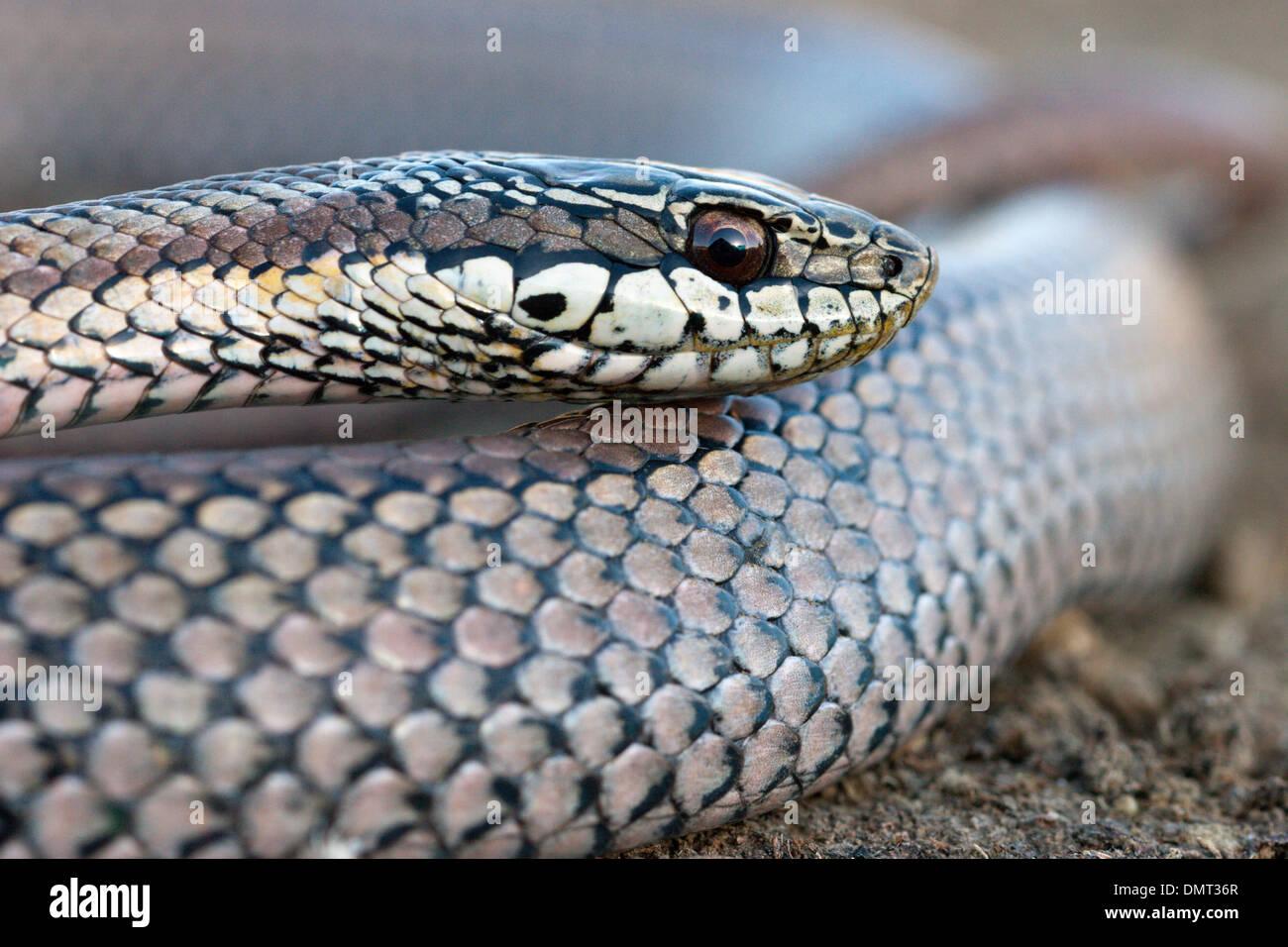 snake poisonous venomous culebra con cola larga Chile Stock Photo