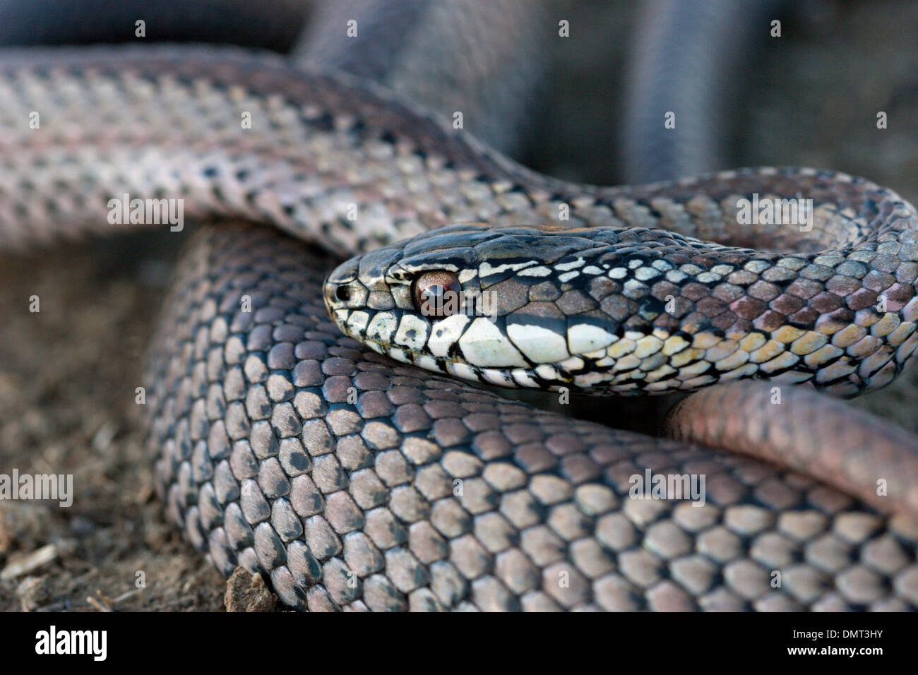 snake poisonous venomous culebra con cola larga Chile Stock Photo