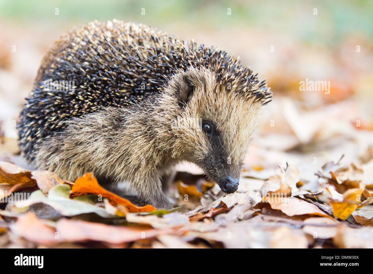 Hedgehog searching between fallen brown leaves in autumn - Stock Image