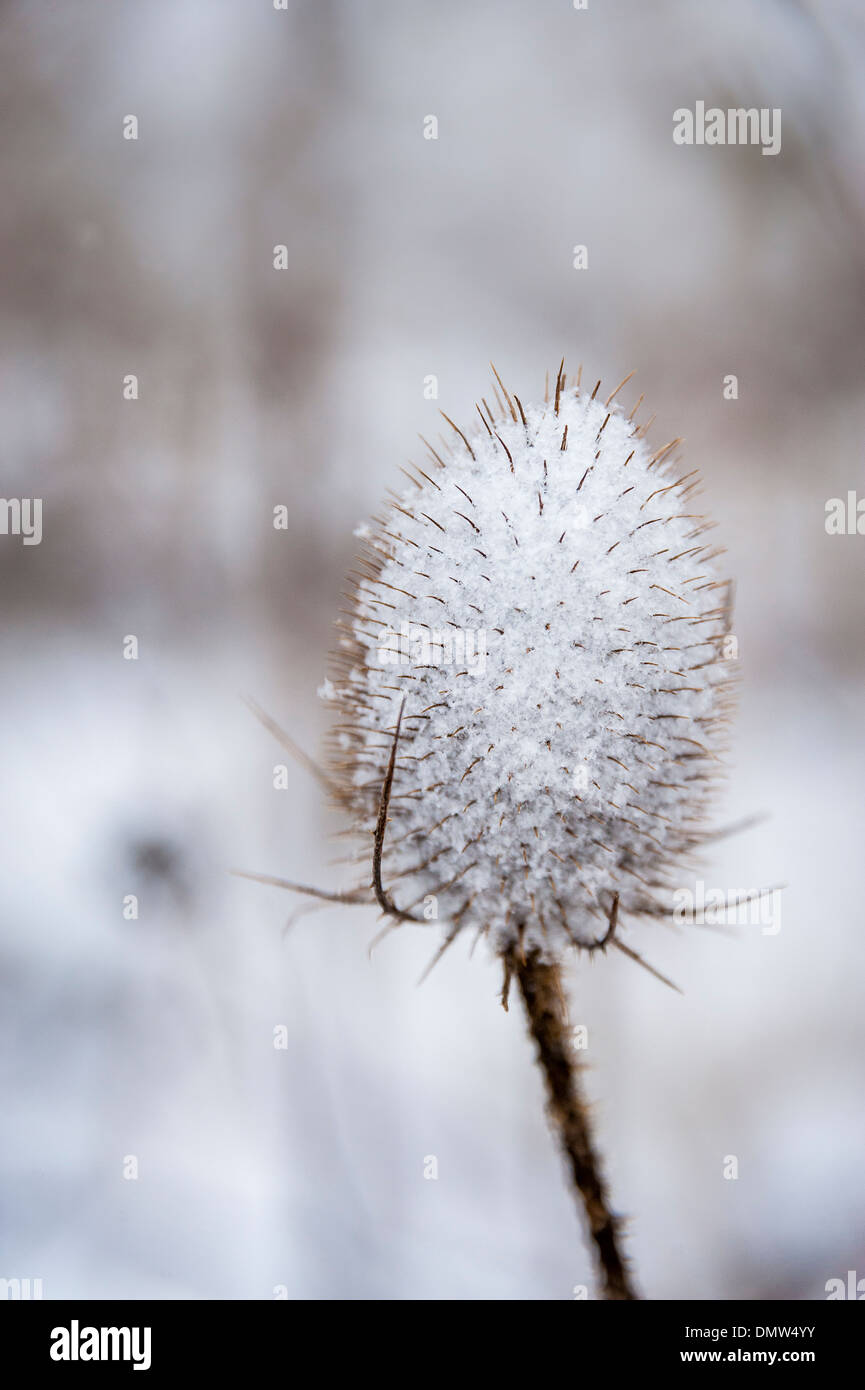 Teasel covered with snow - Stock Image